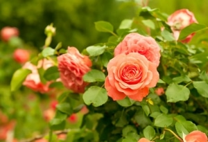 Cultivation Street tips, quirky tips on caring for your roses