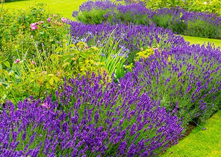 Lavender body artowrk 2 Cultivation Street plant of the month of, enjoying and caring for your plants2