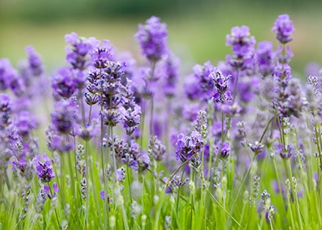Lavender body artowrk Cultivation Street plant of the month of, enjoying and caring for your plants2
