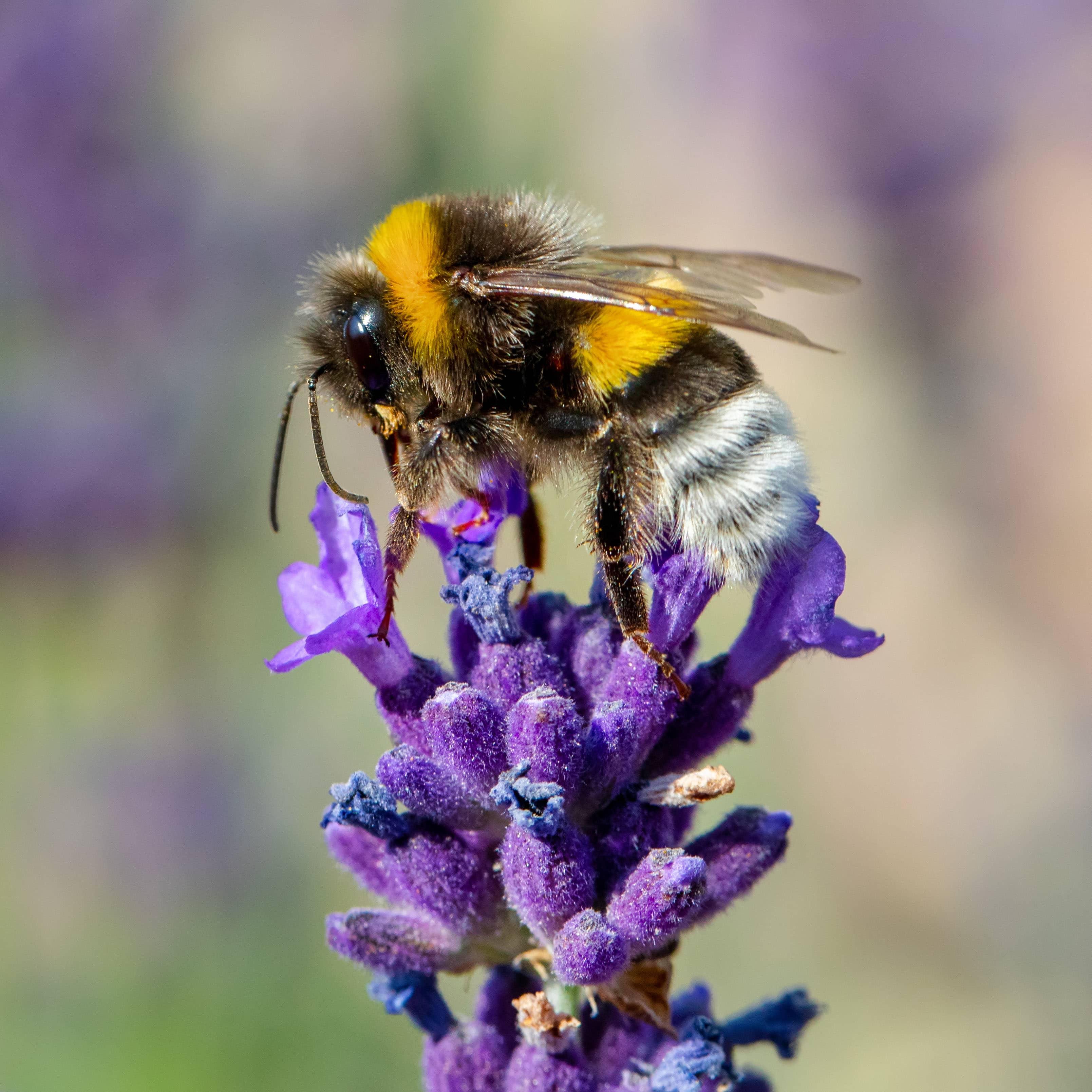 diligent bee sucks lavender nectar, summer concept, shallow focus