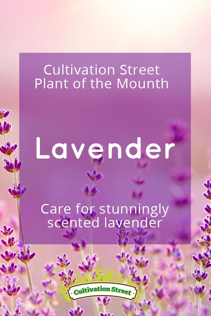 Pin Lavender 5 artowrk Cultivation Street plant of the month of, enjoying and caring for your plants
