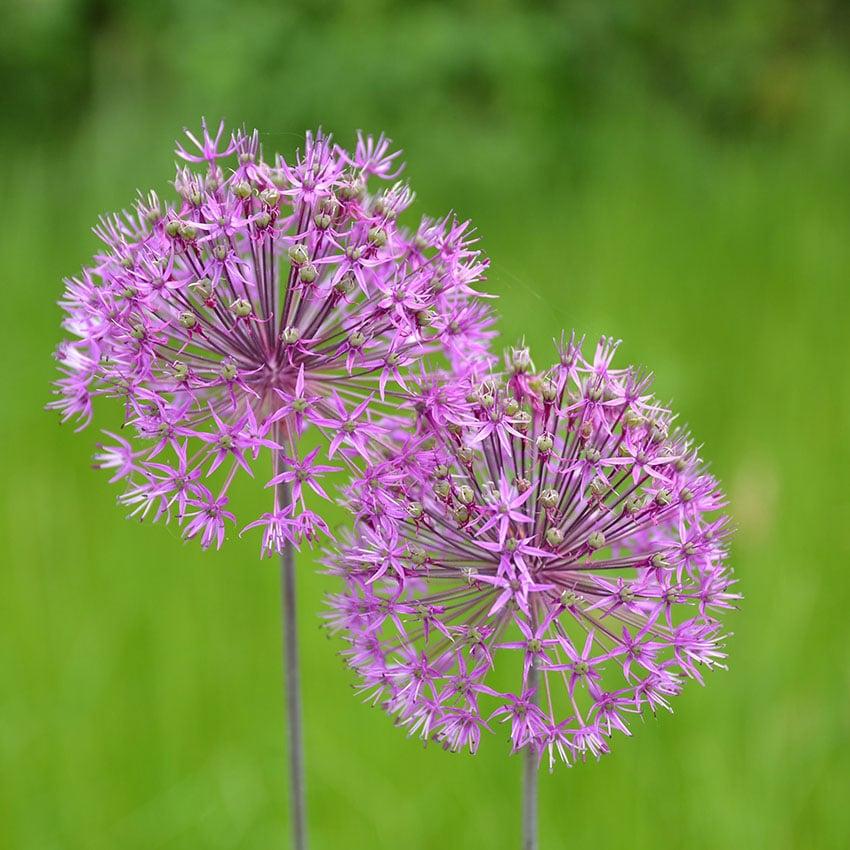 Kugellauch - ZIerlauch blüht lila im Garten - Allium Aflatunens