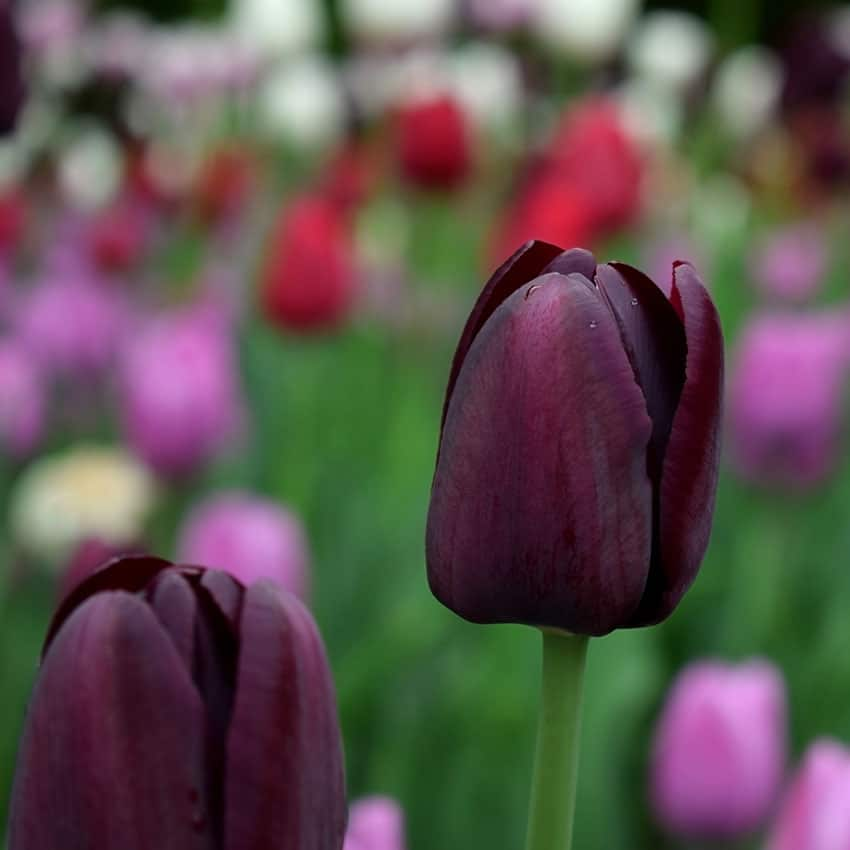 Close-up of a black tulip and many others in the background. Flo