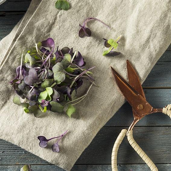 Raw Purple Organic Radish Microgreens Ready to Eat