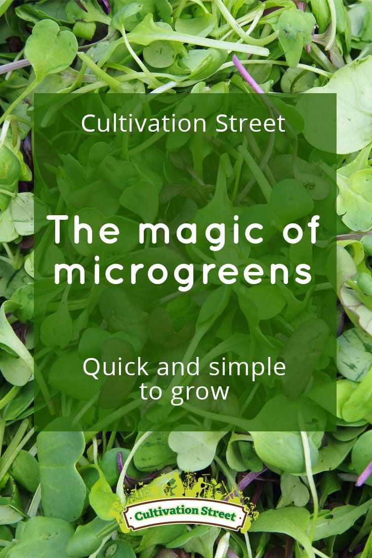Pin artowrk Cultivation Street Blog Microgreens1