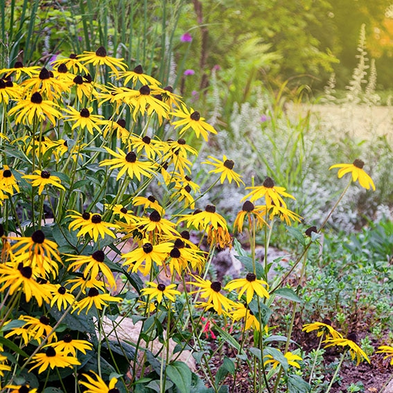 Rudbeckia flowers commonly called coneflowers and black-eyed-susans, Rudbeckia hirta in the garden. Natural scene.