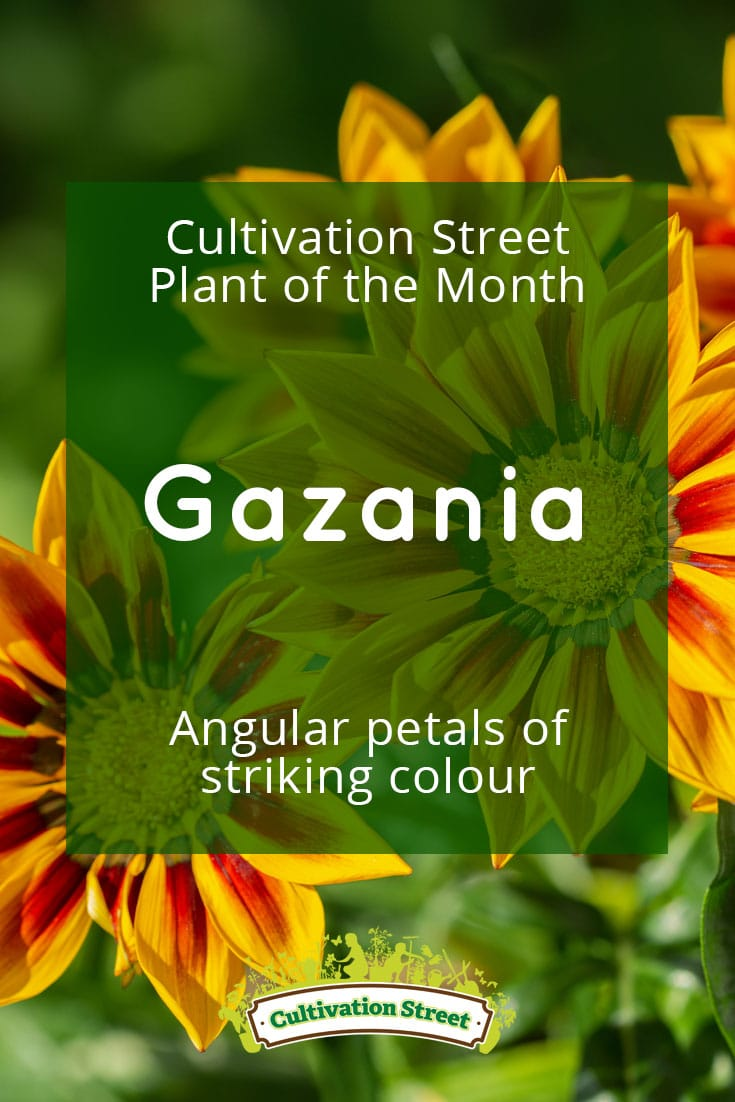 Pin artowrk Cultivation Street plant of the month of , pansies, enjoying and caring for your plants gazania 2
