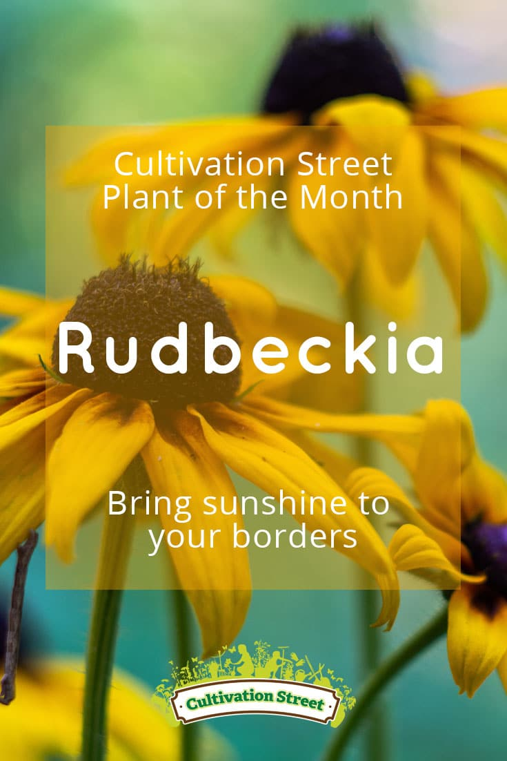 Pin artowrk Cultivation Street plant of the month of , pansies, enjoying and caring for your plants rudbeckia 2
