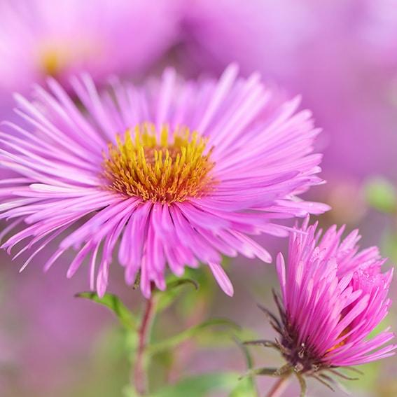 Michaelmas daisy flower - close up.
