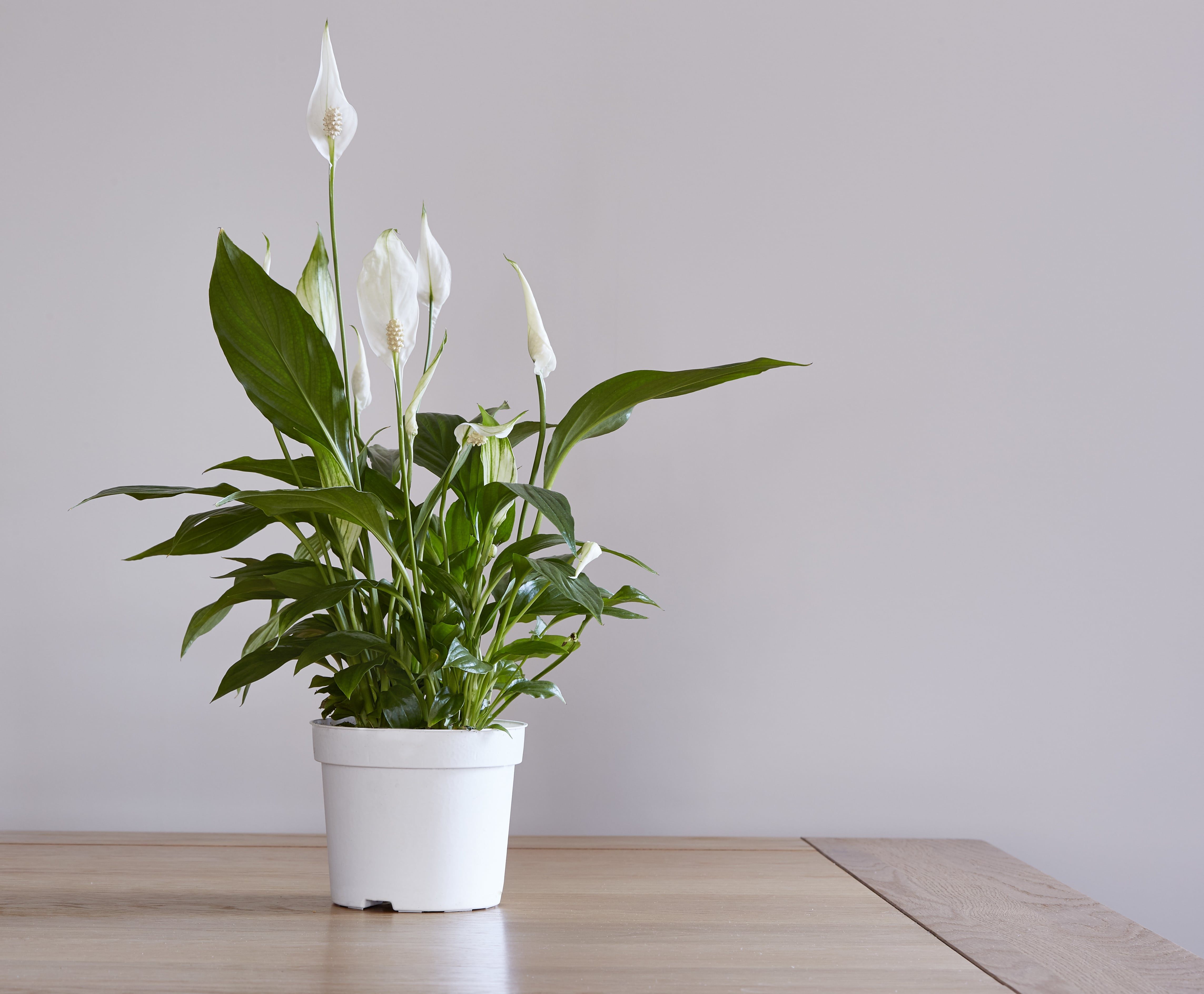 A pot of a pease lily houseplant on a dining table