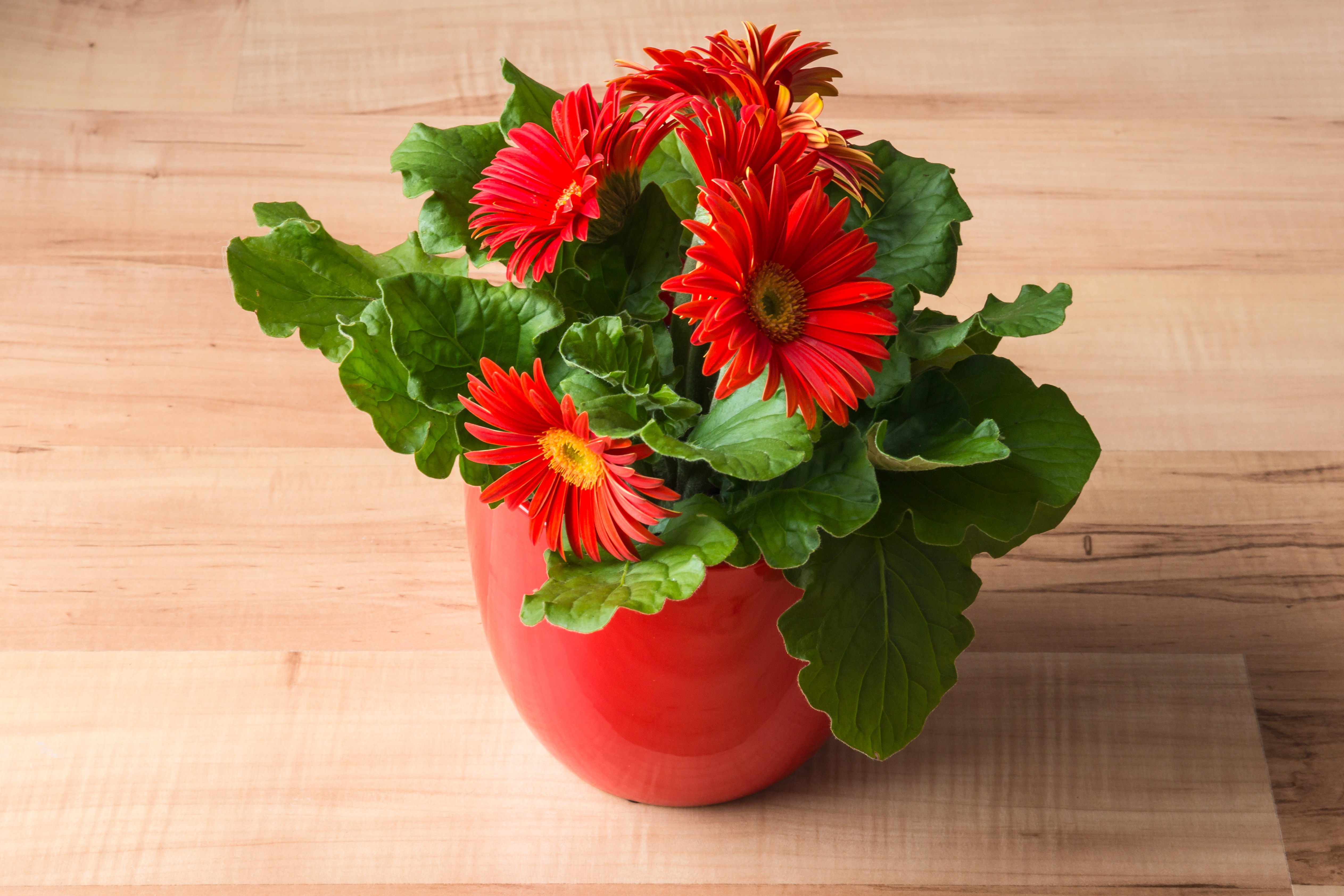 red gerbera daisy plant with flowers in bloom on wooden laminate flooring