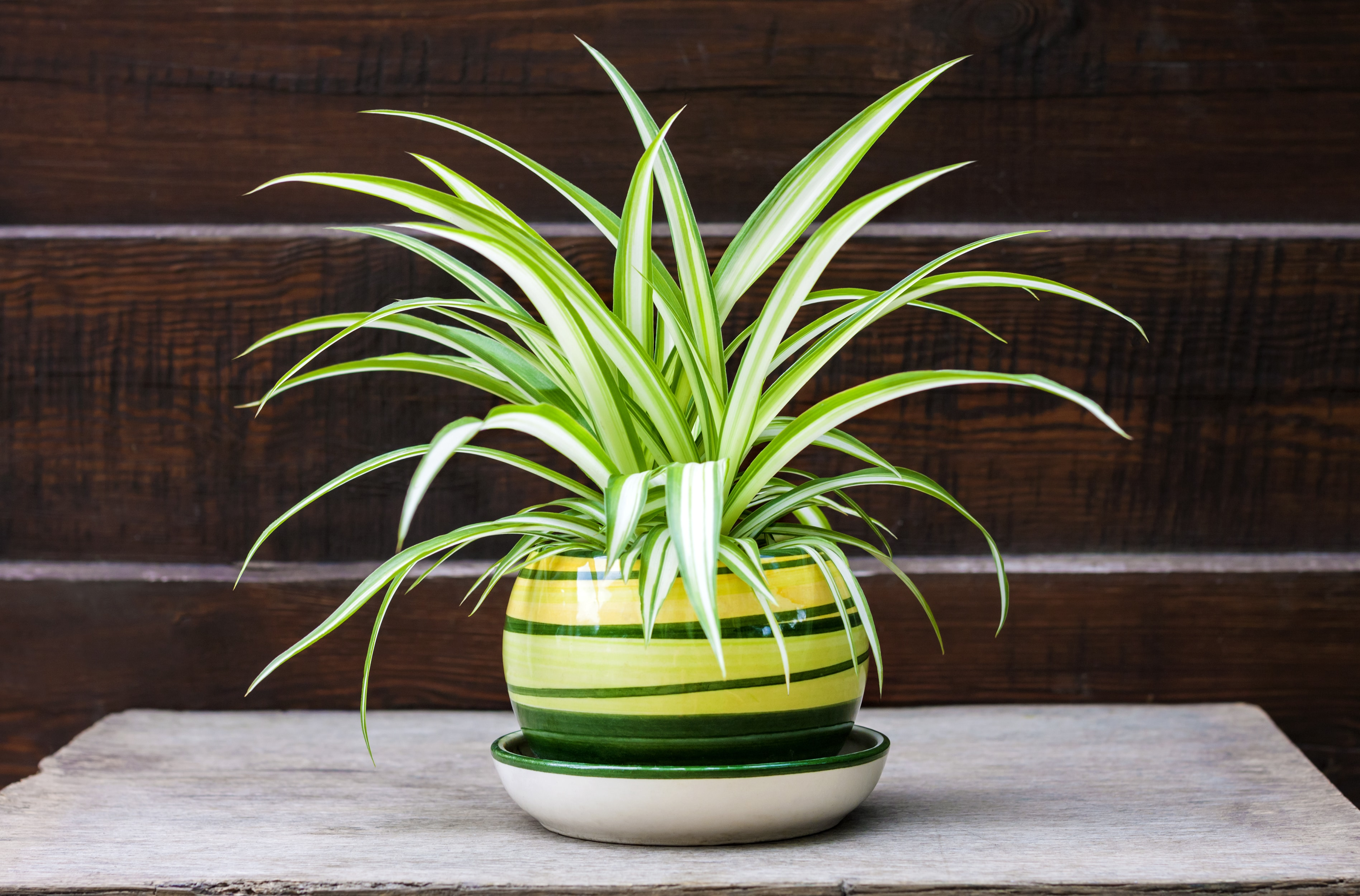 Chlorophytum comosum (also known spider plant, airplane plant, St. Bernard's lily, spider ivy, ribbon plant, and hen and chickens) in a pot on the wooden fence background