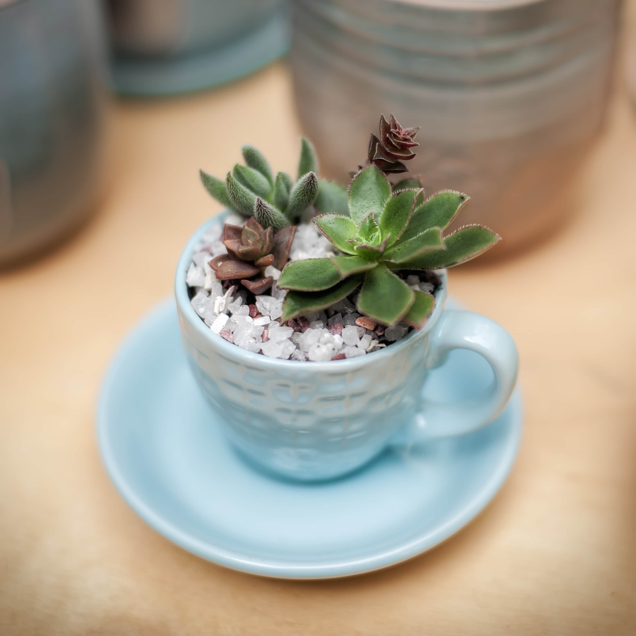Succulent plants in the blue tea cup with saucer. Shallow DOF, square composition with vignette.