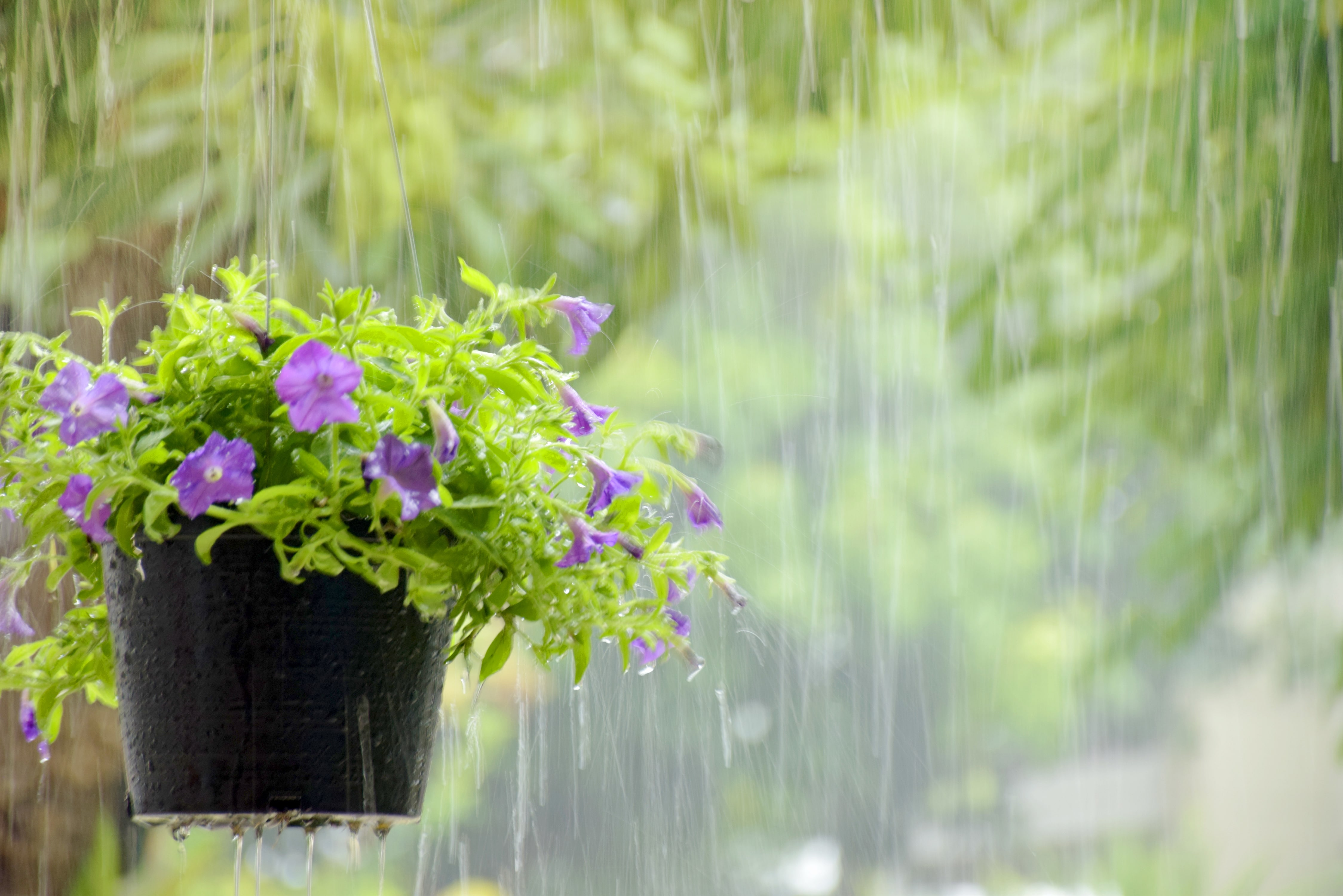 Flower pot in the rain