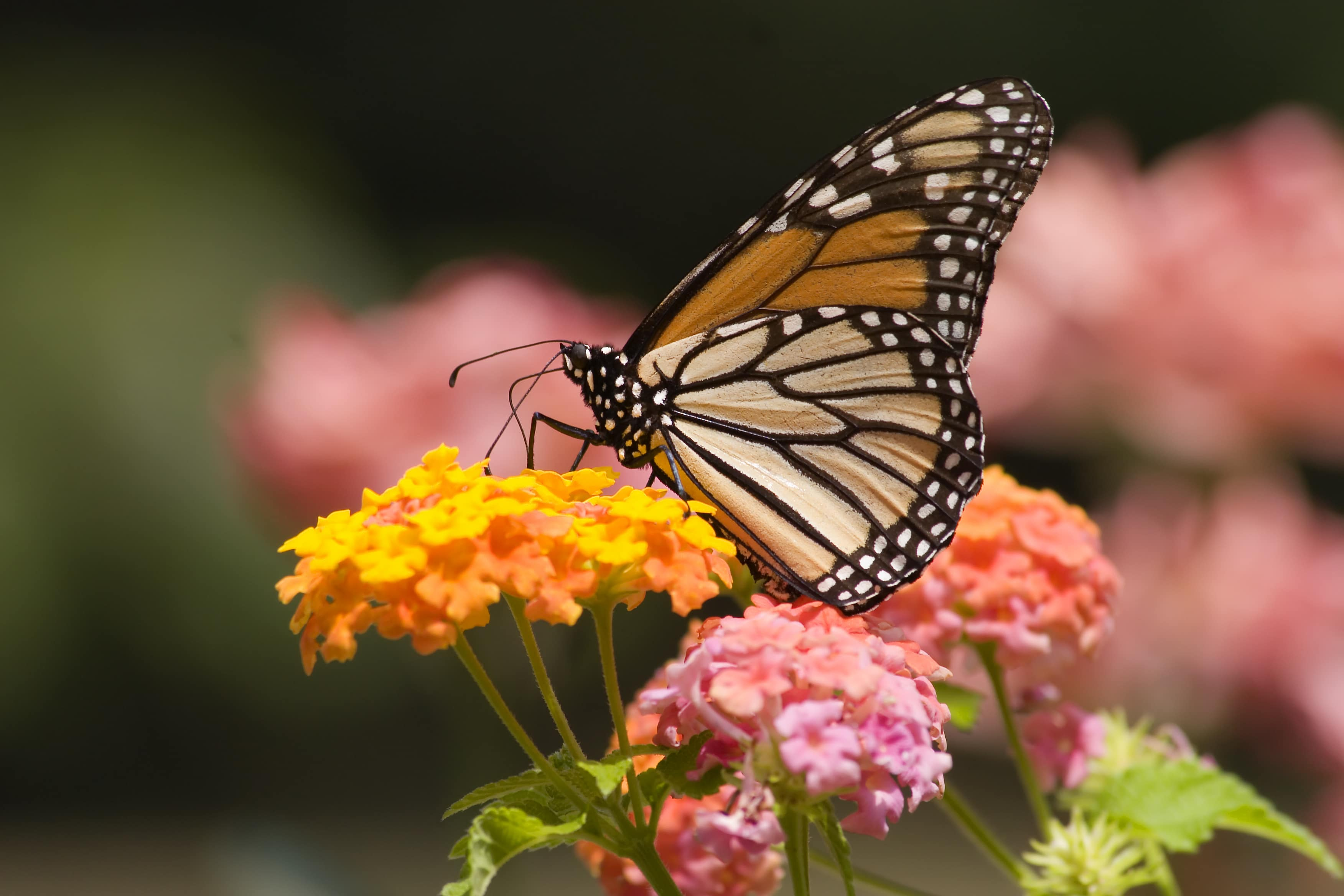 Monarch Butterfly Feeding on Lantana Flowers