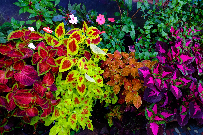 Coleus. different varieties. Home plant