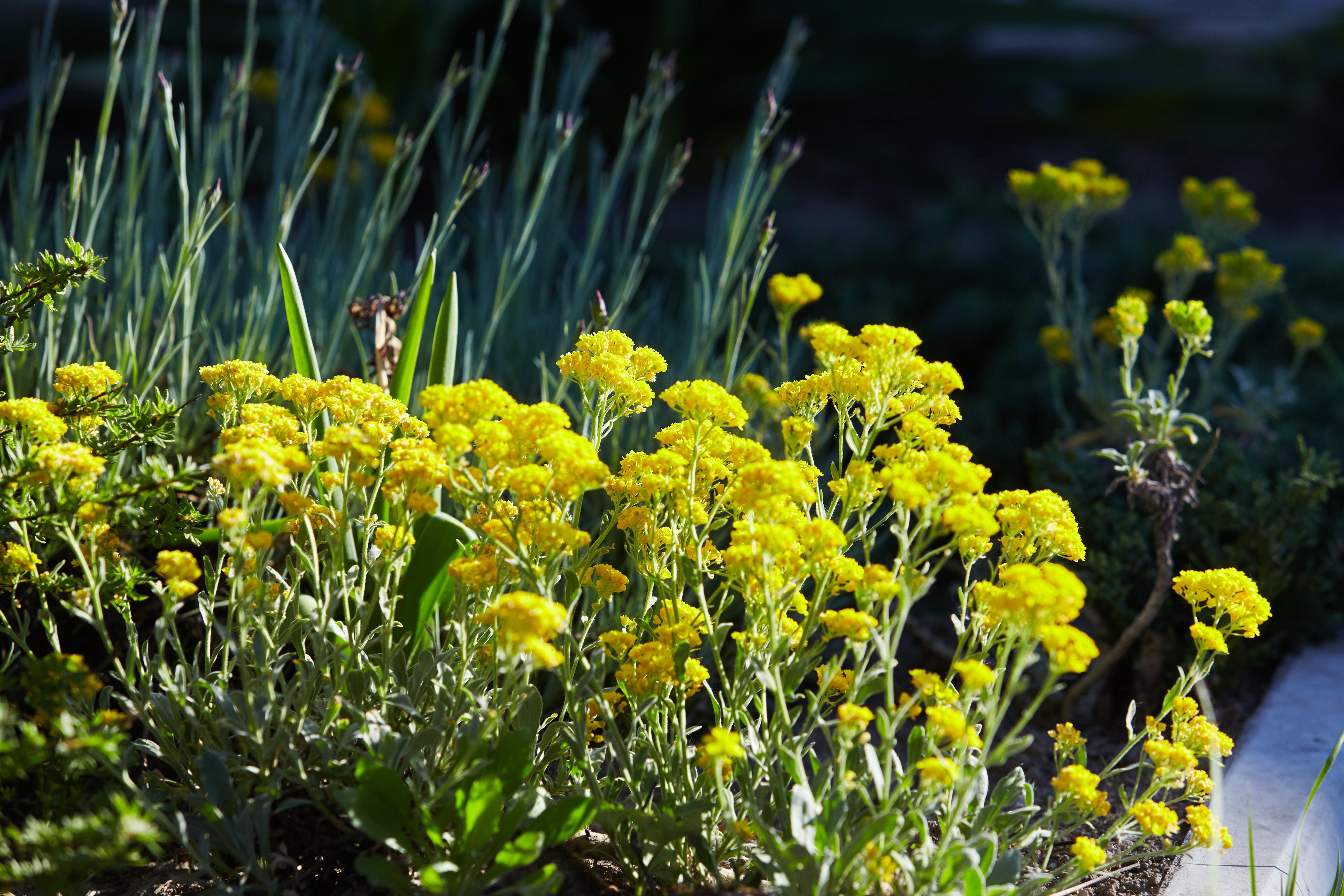 Yellow flowers of helichrysum arenarium immortelle on green blurry background