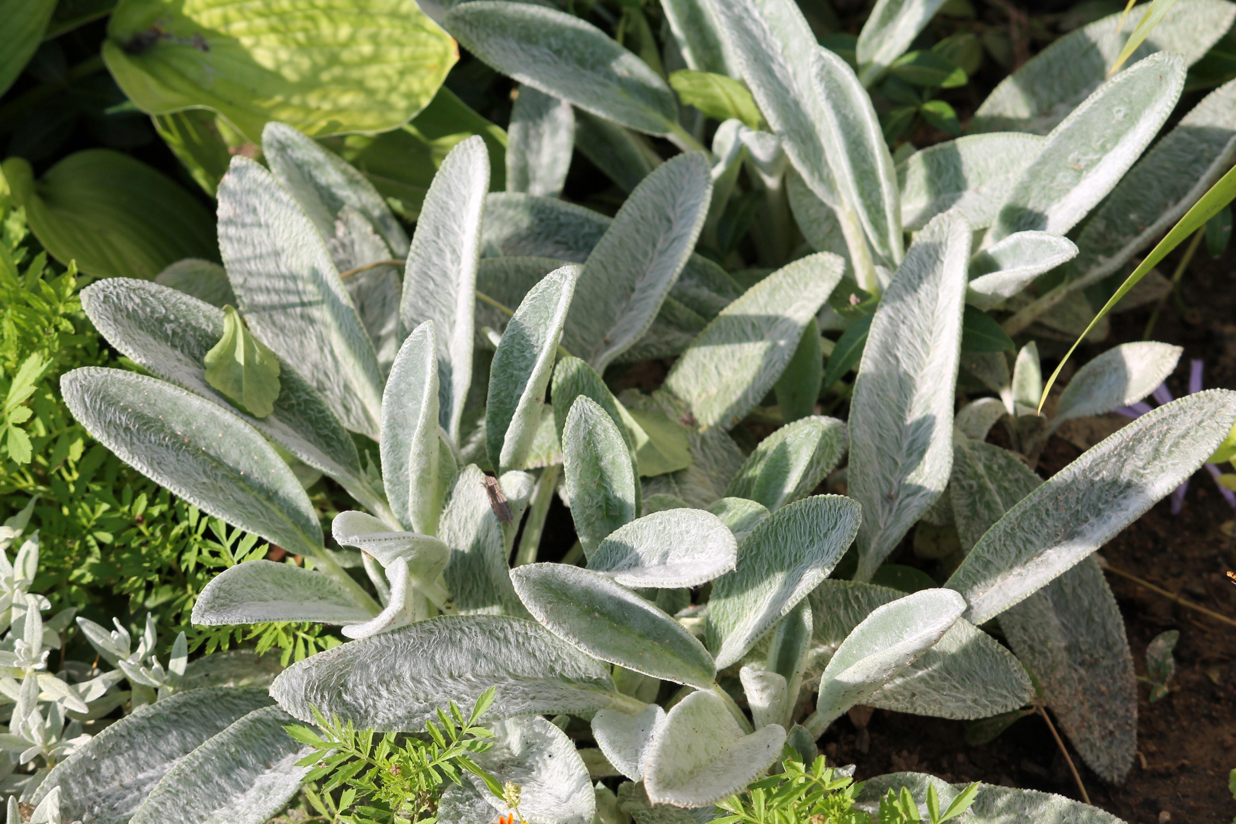 Gray foliage of Stachys byzantina (syn. Stachys lanata) or lamb's ears plant in garden