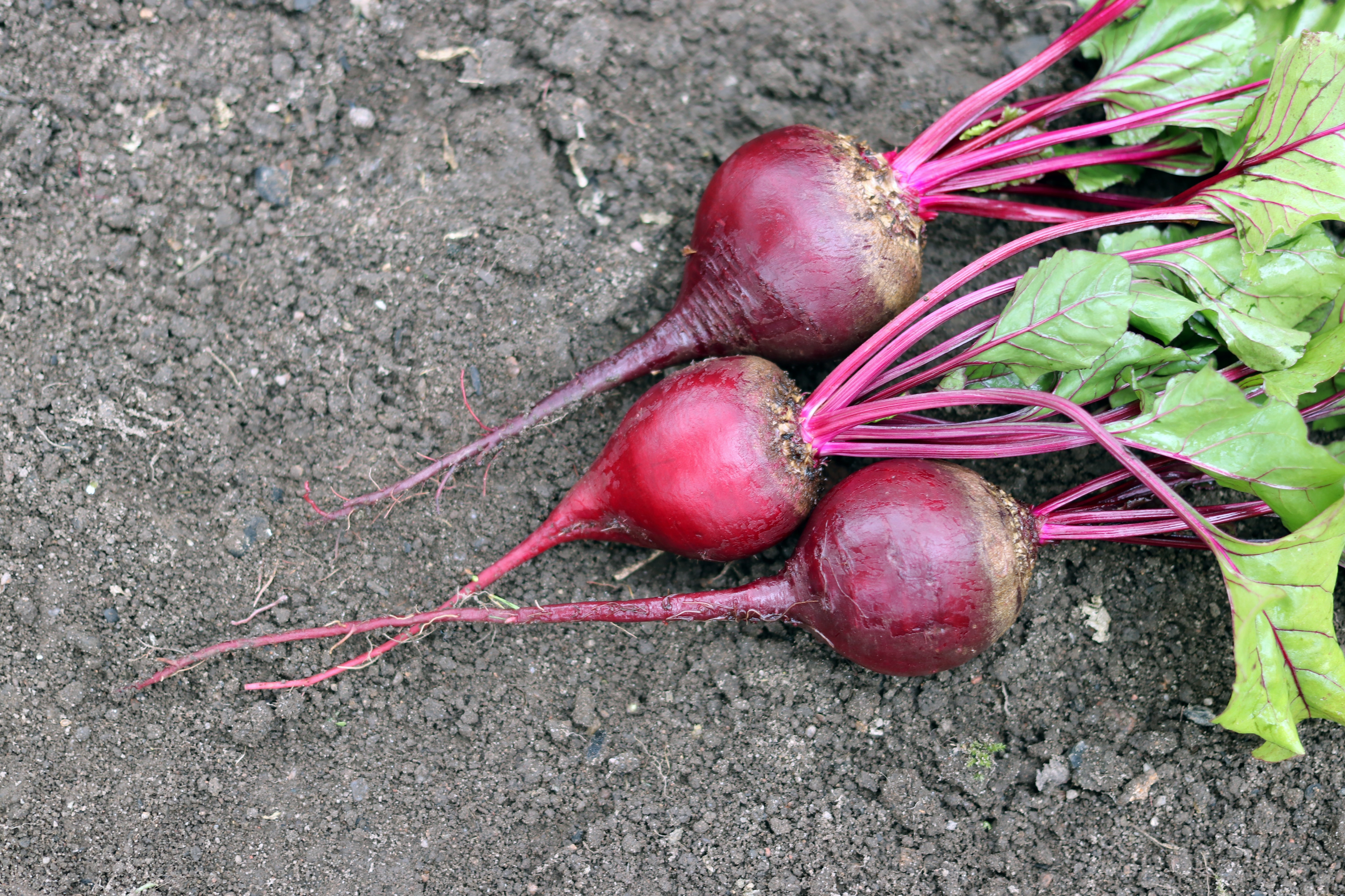 Beetroot in the garden in the fall.The taproot portion of the beet plant, growing in the  vegetable garden.Permaculture, known as the beet, also table beet.