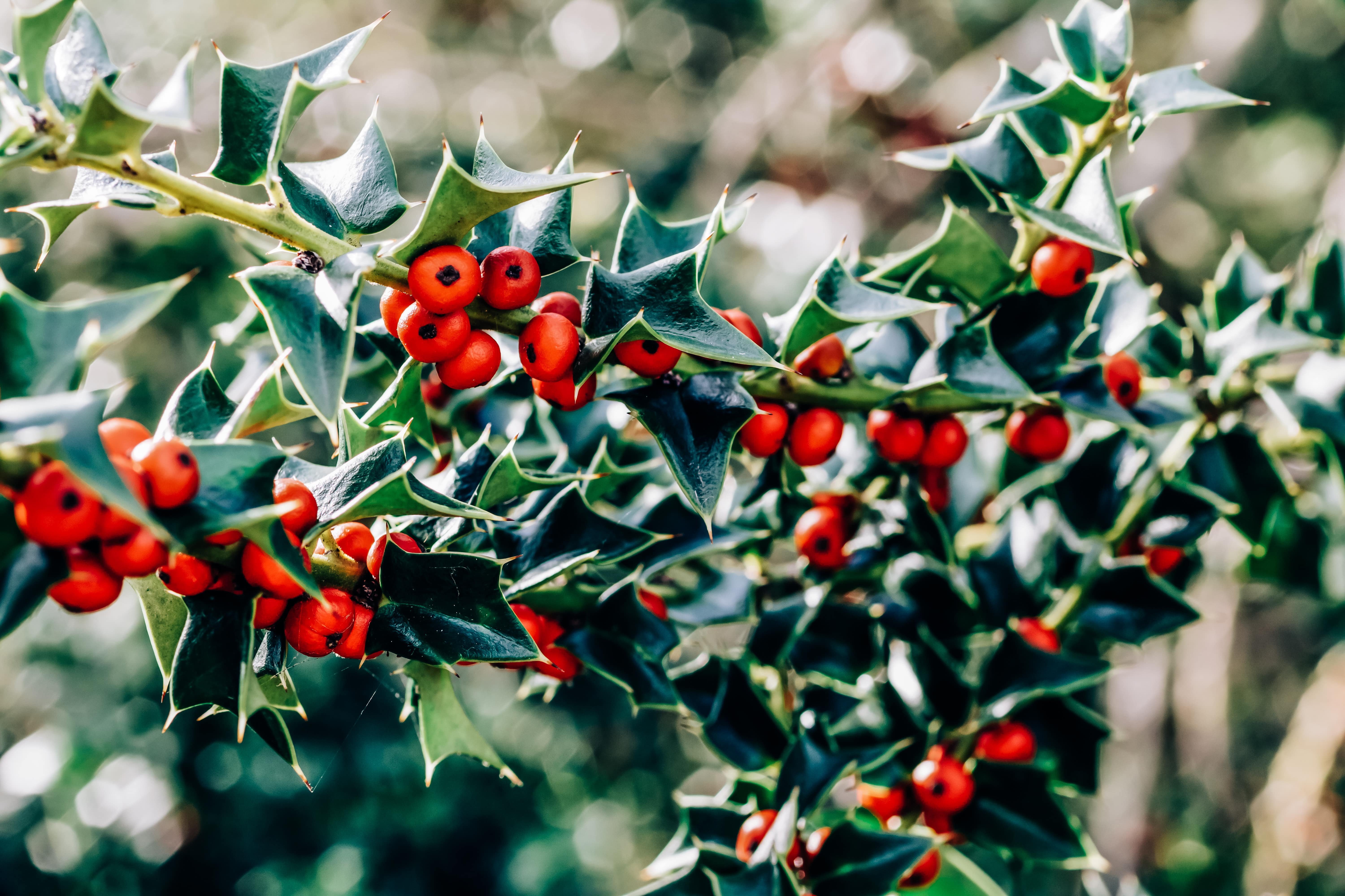 Beautifully lit branches of holly with red berries