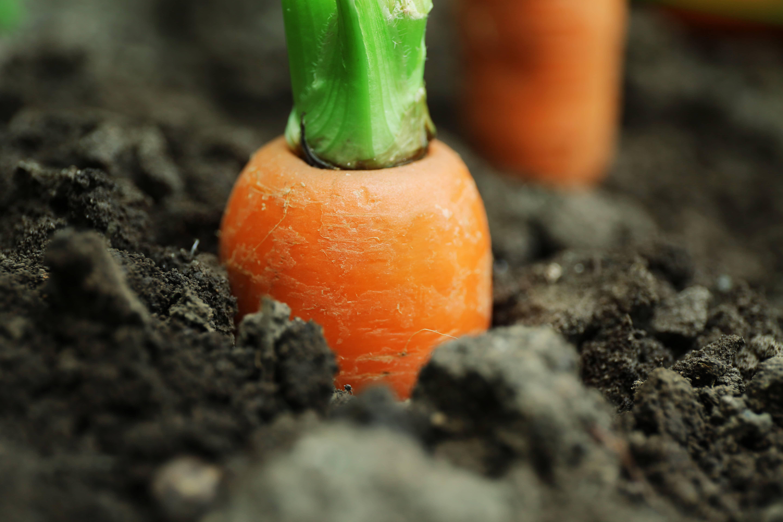 New fresh carrots in soil in garden