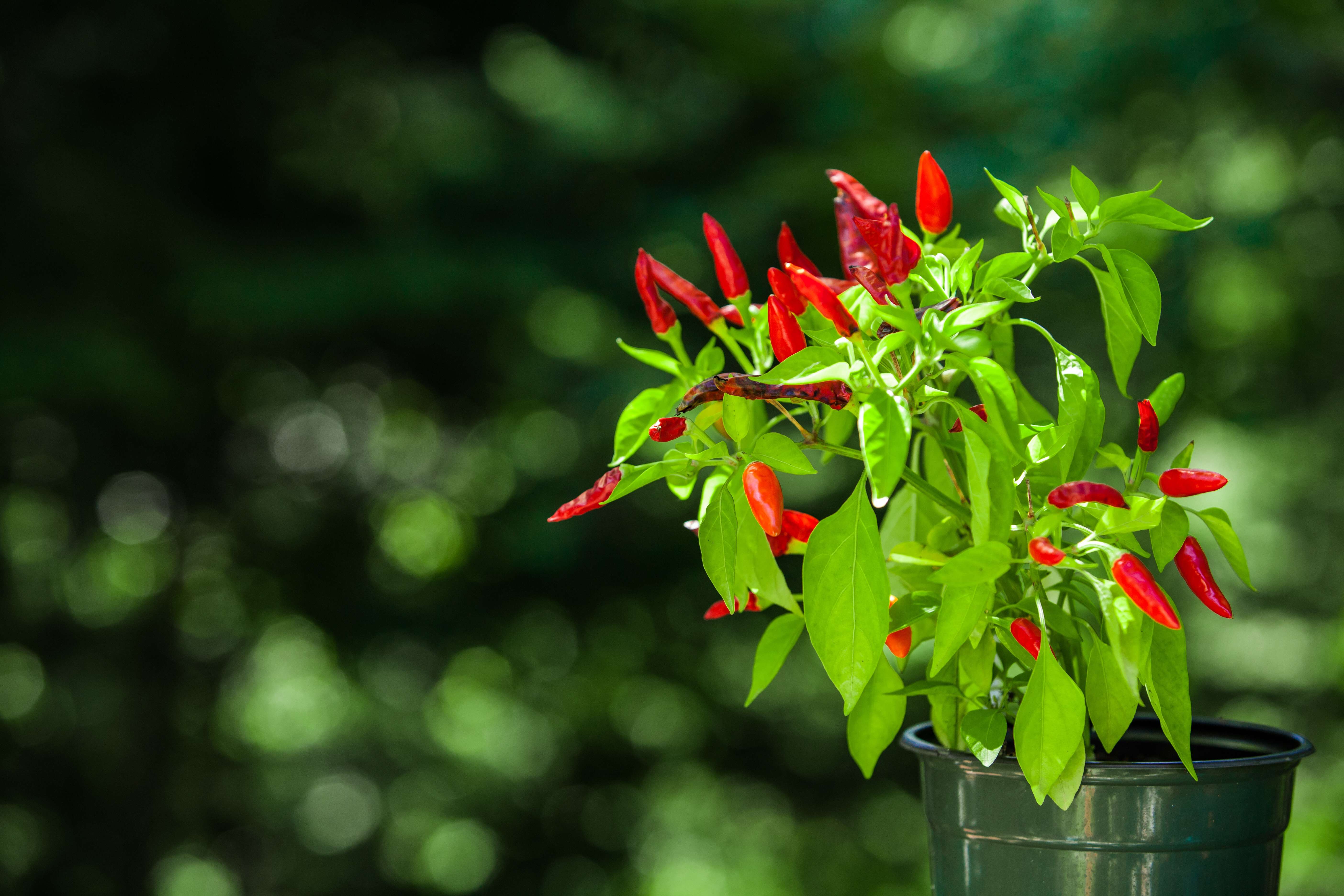 Red chili plant pictured with blurry green background - 1/2 - Pictured outdoors at the sunset with a macro lens