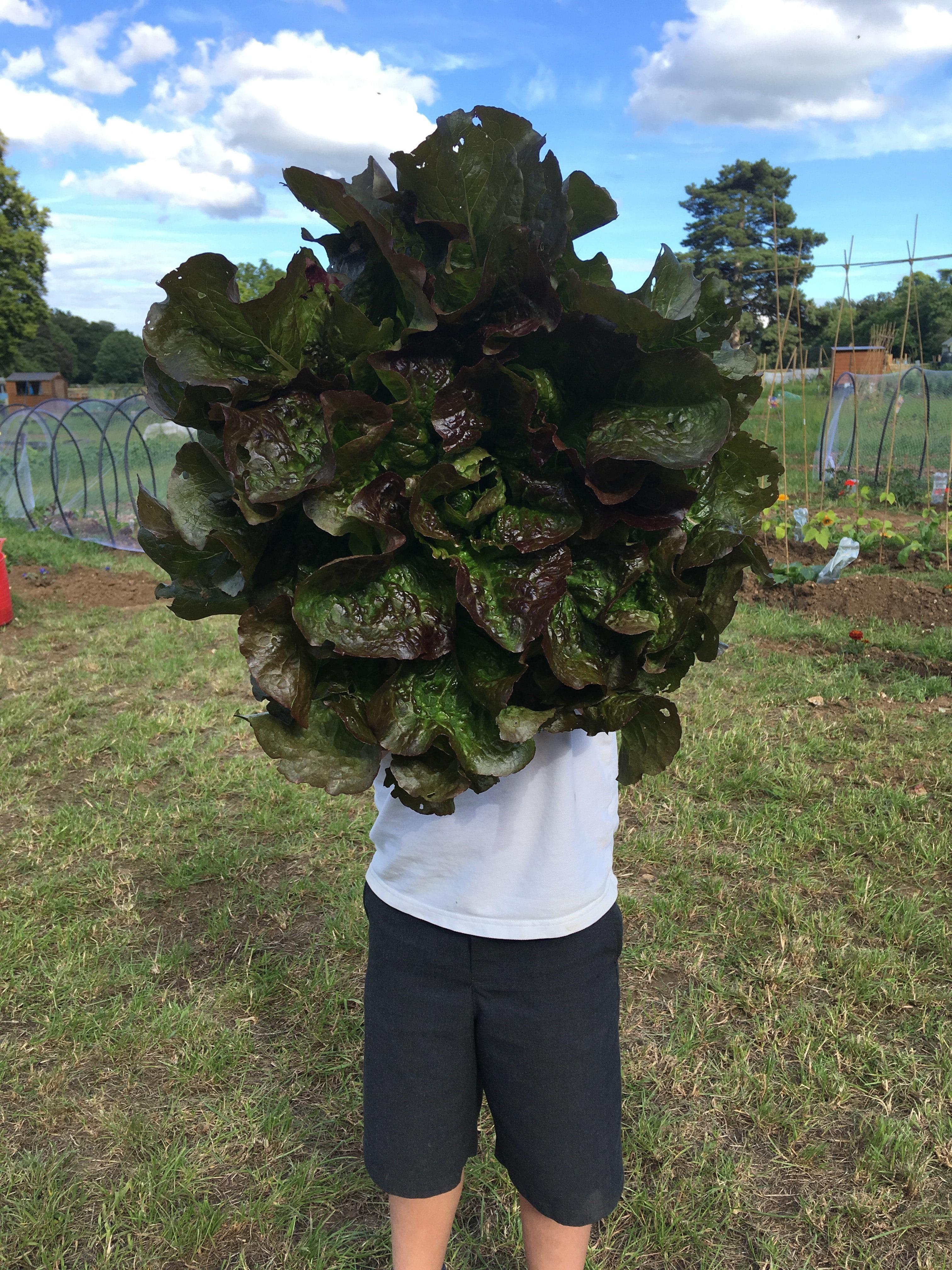 Human Roots - Lettuce