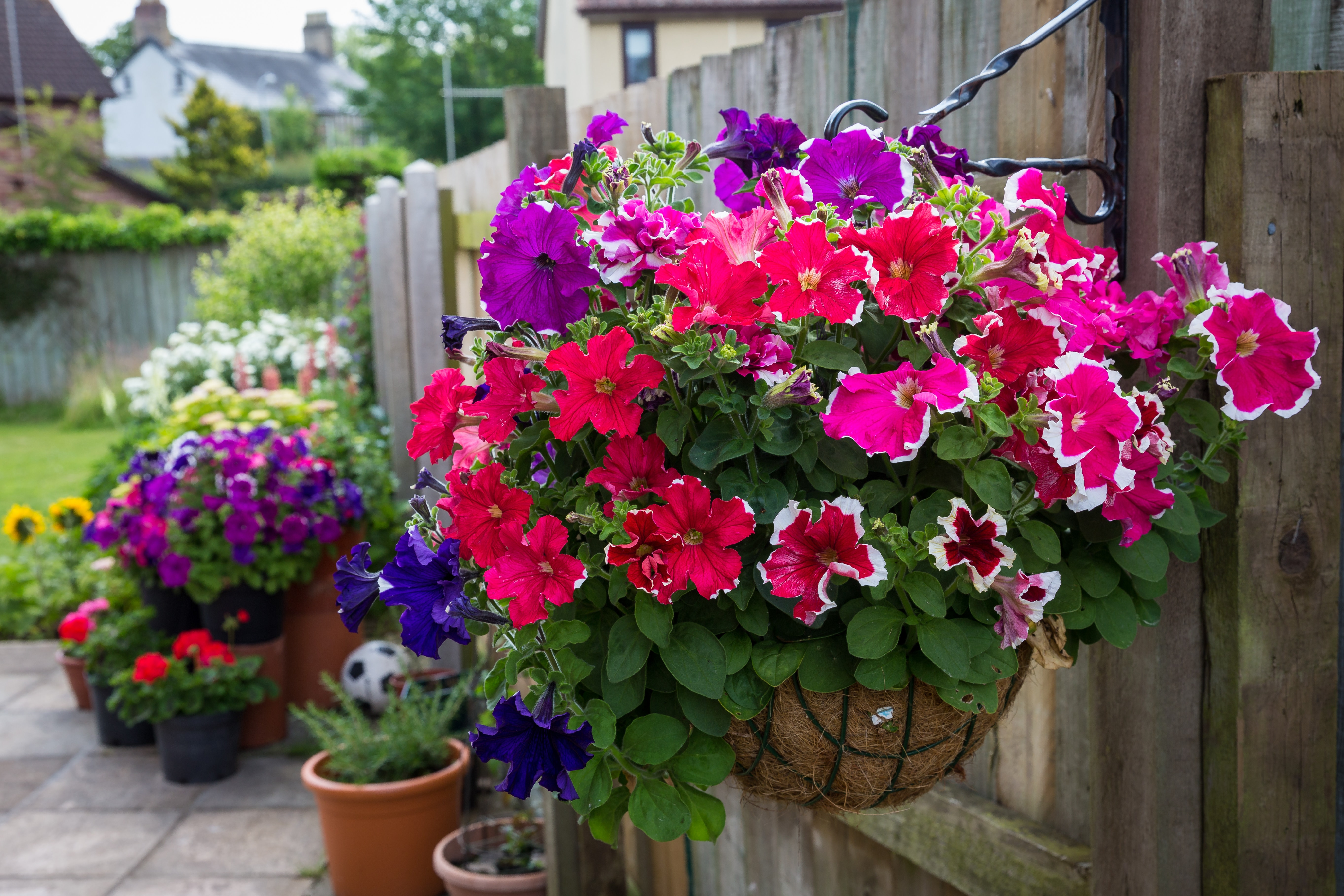 Hanging basket filled with petunia flowers in a garden in south Wales, UK