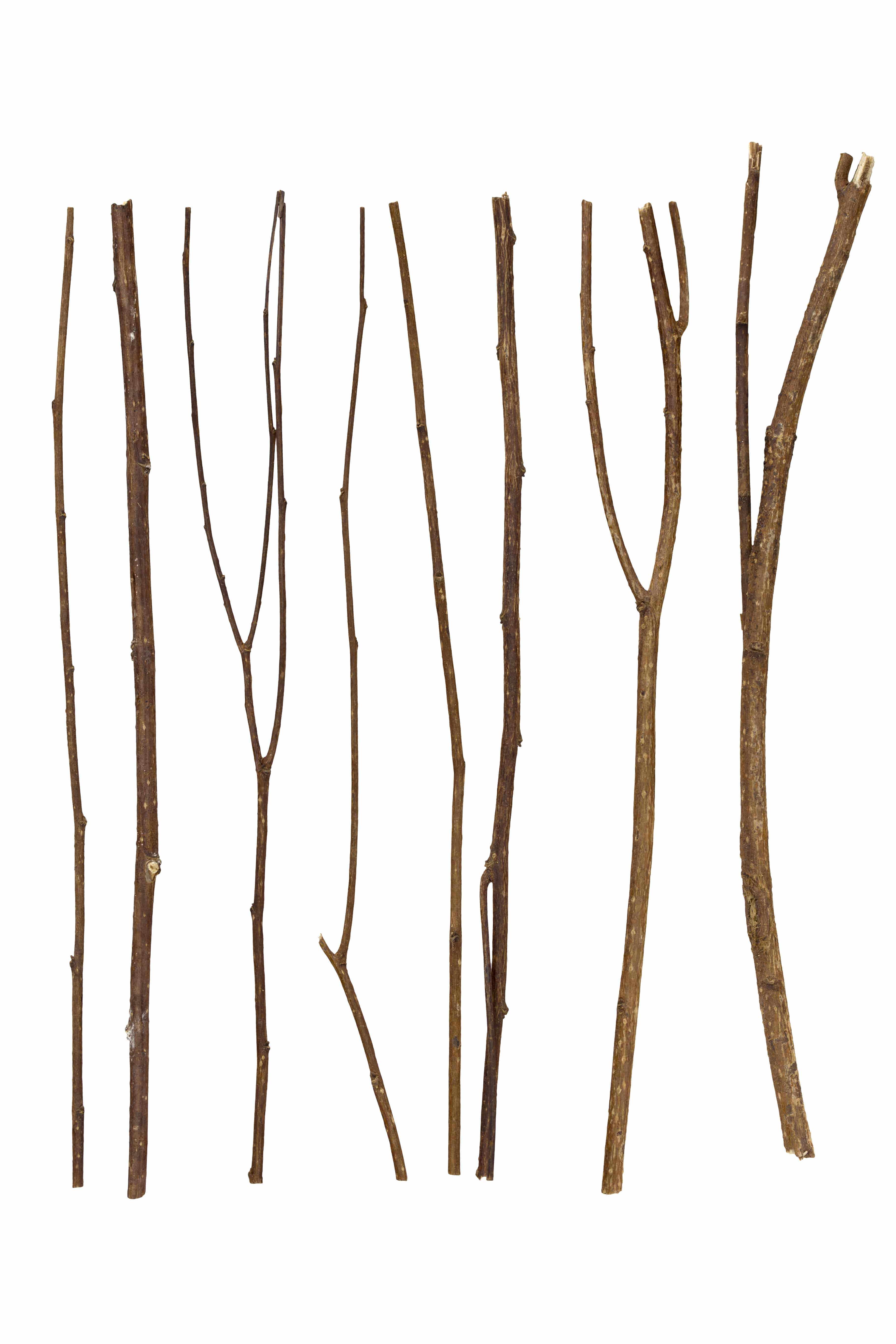 Twigs, set macro dry branches birch isolated on white background