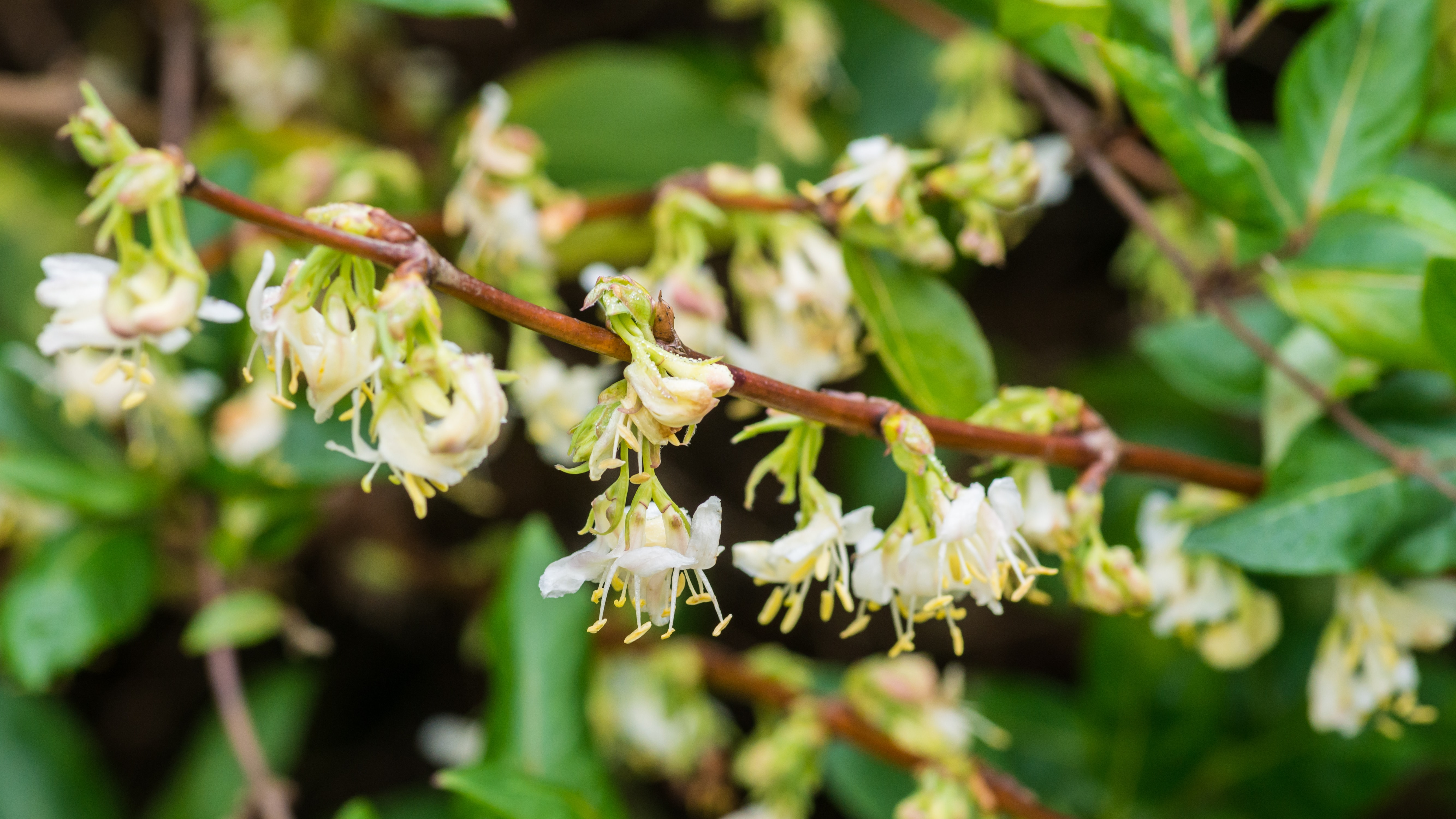 A close-up shot of a branch full of winter honeysuckle blooms.