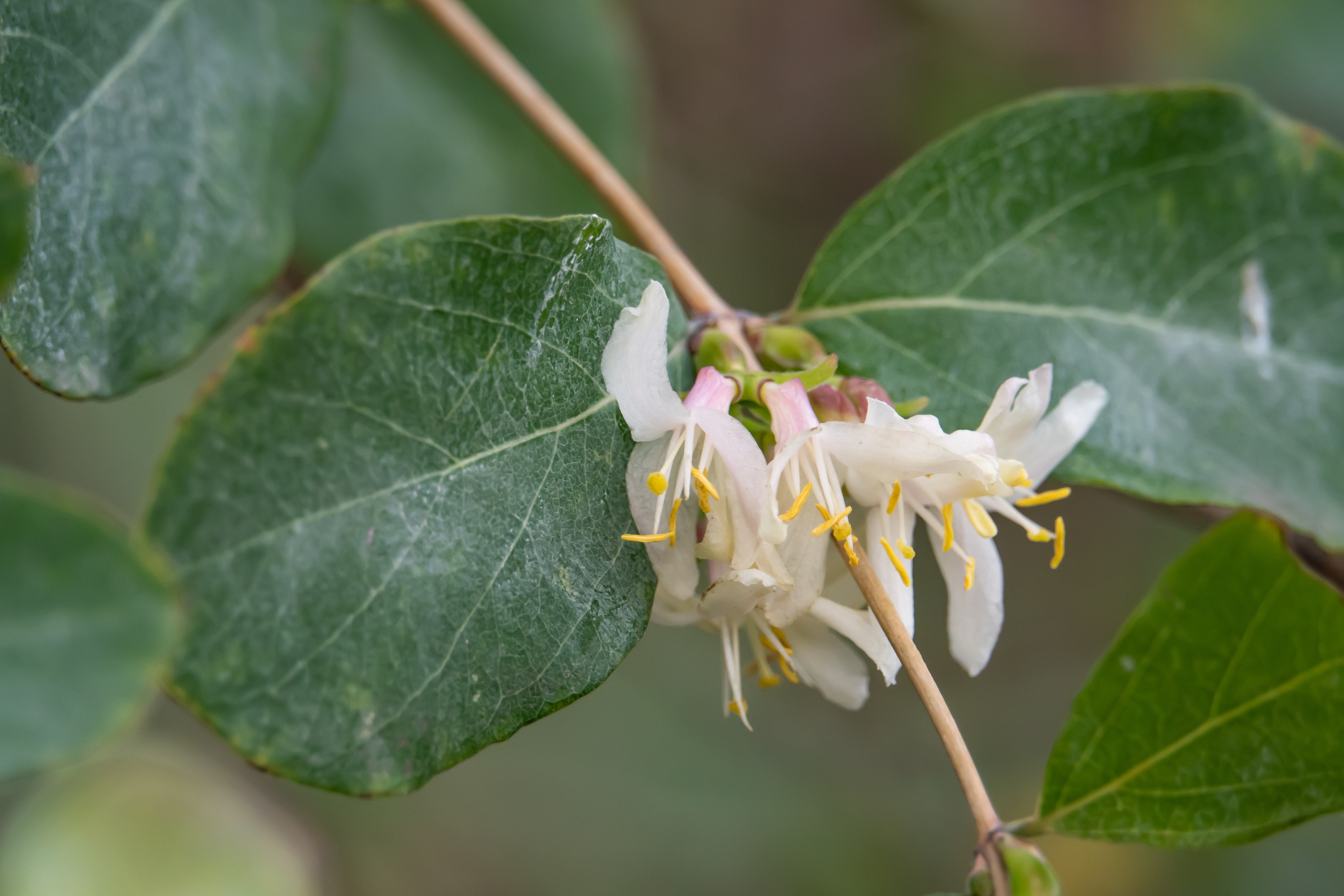 Fragrant Honeysuckle Flowers in Bloom in Winter