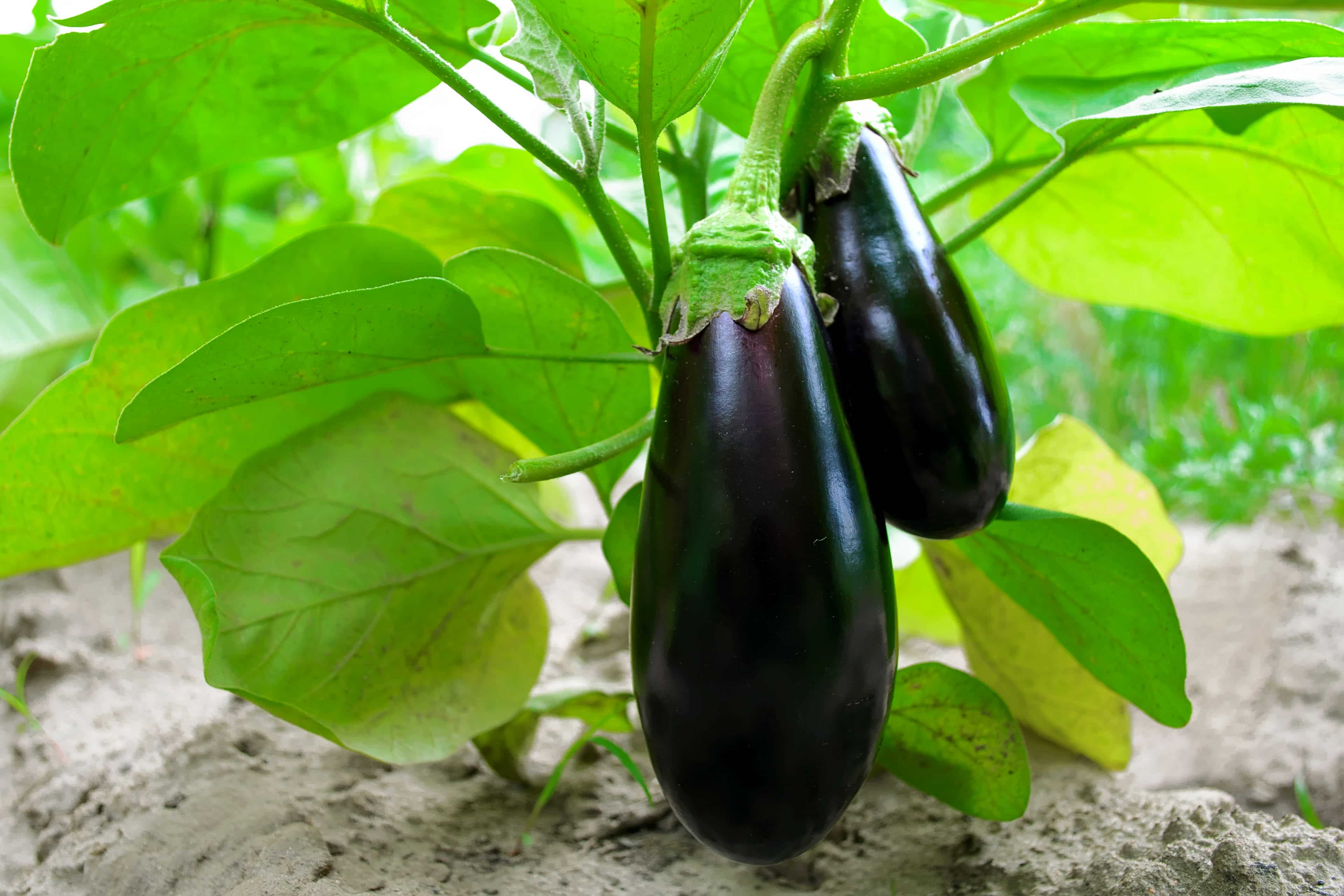 Ripe eggplant in the garden. Fresh organic eggplant. Purple eggplant grows in the soil. Eggplant culture grows in the greenhouse. Ripe purple aubergine. Growing vegetables in the greenhouse.