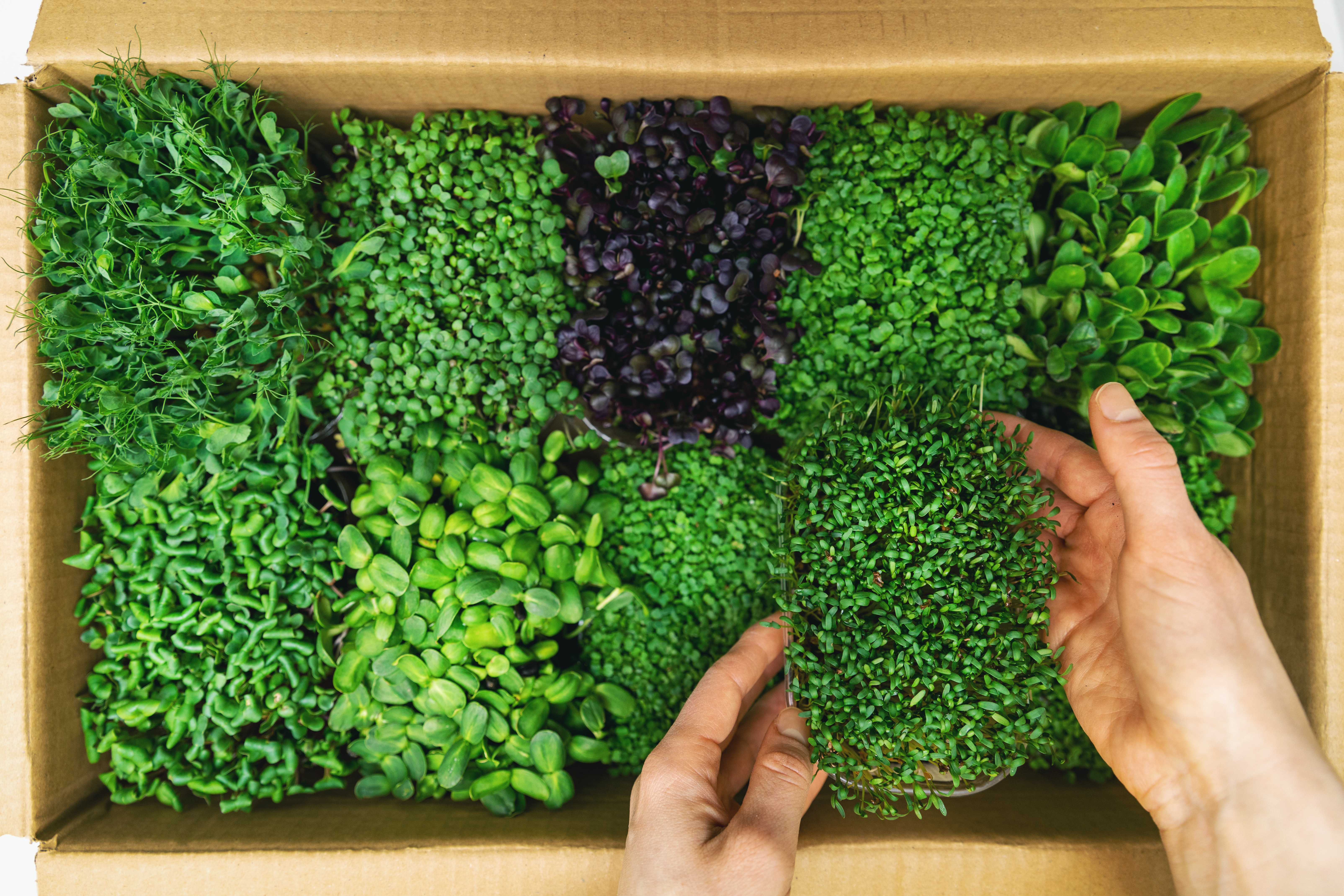 organic raw food - woman take a microgreens container out of cardboard box