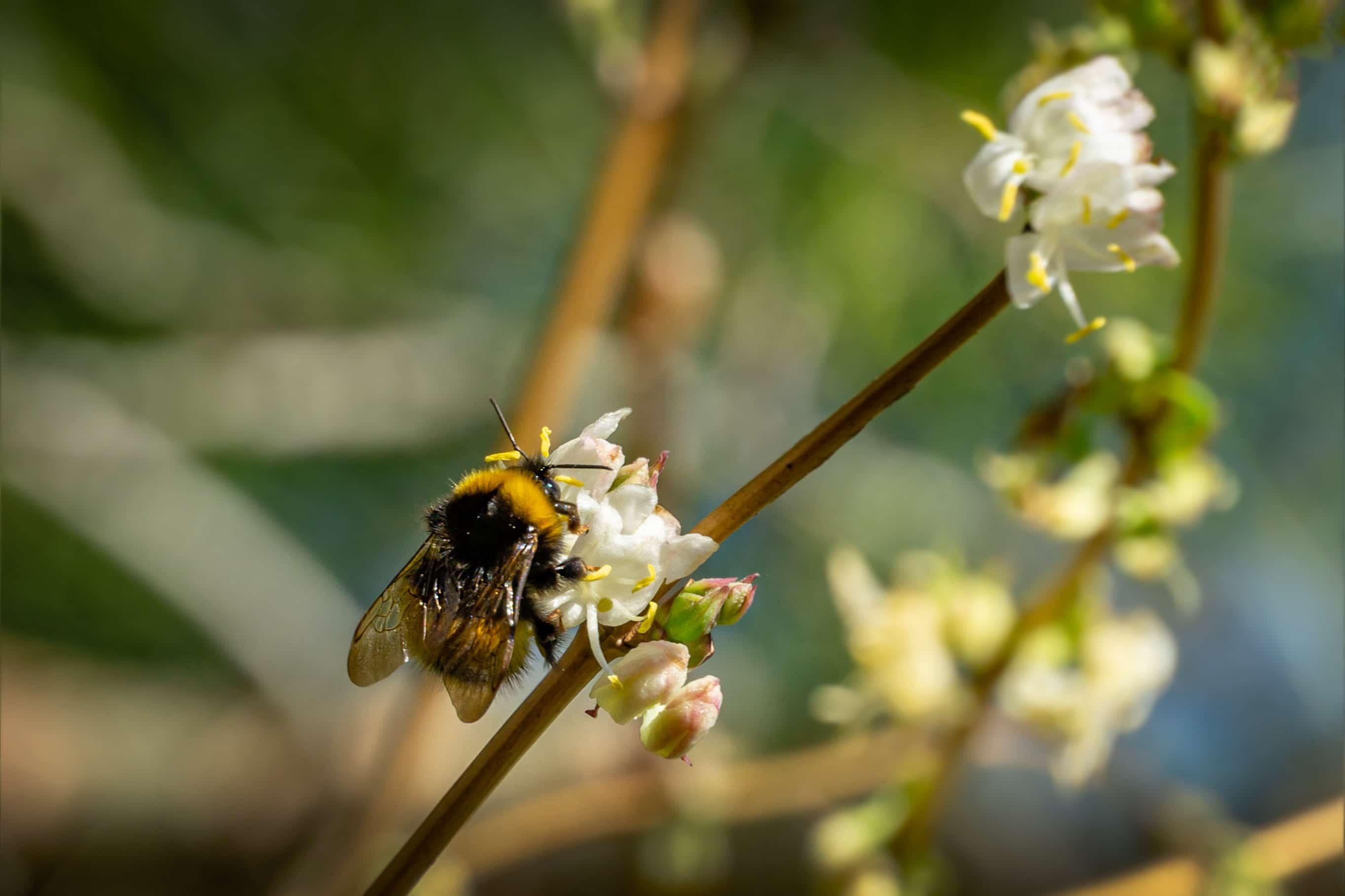 Close-up of garden bumblebee (Bombus hortorum) collecting nectar from blooming white flower winter honeysuckle Lonicera fragrantissima (standishii). January jasmine on natural bokeh background