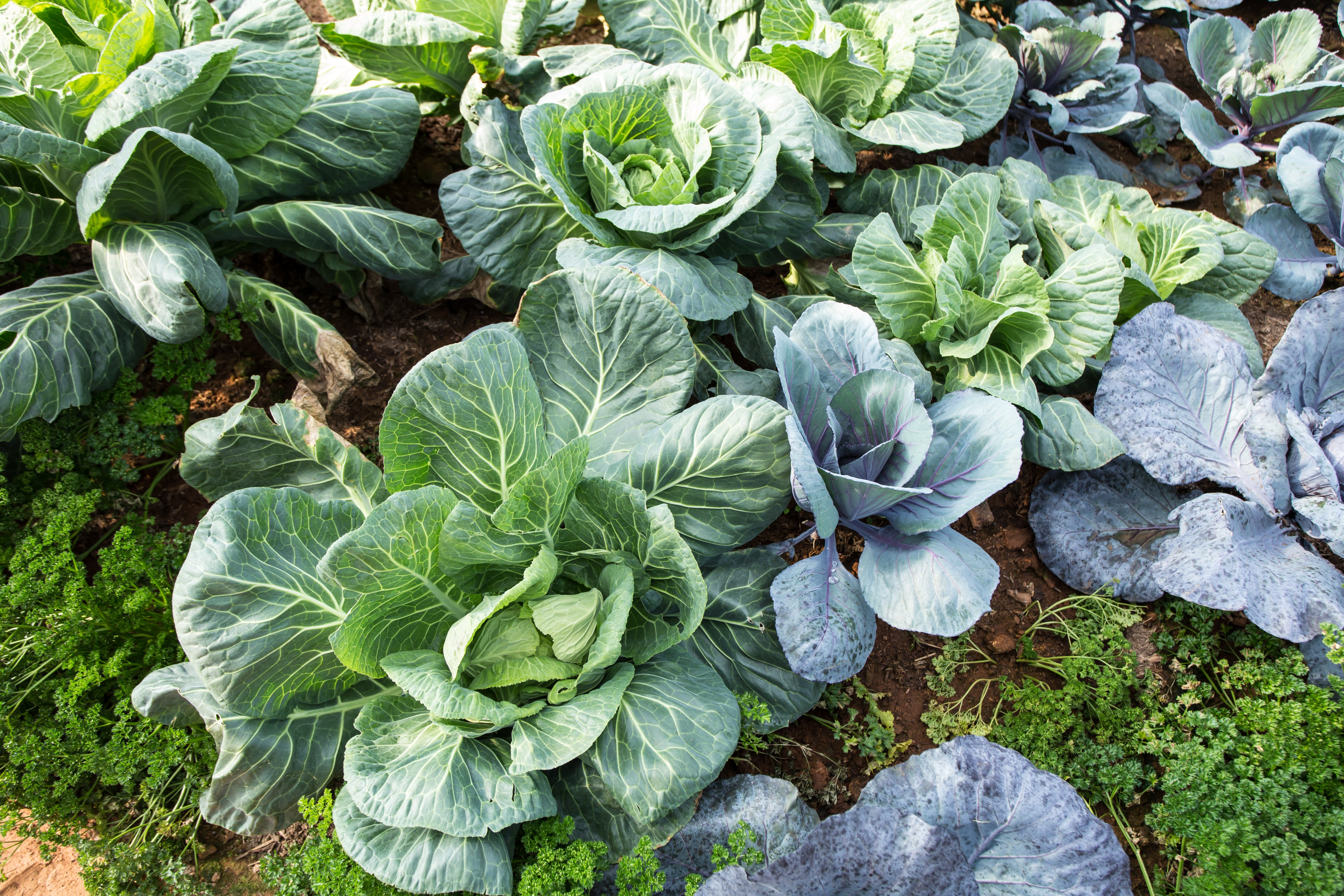 cabbage garden, fresh cabbage and parsley grow in farm, Thailand