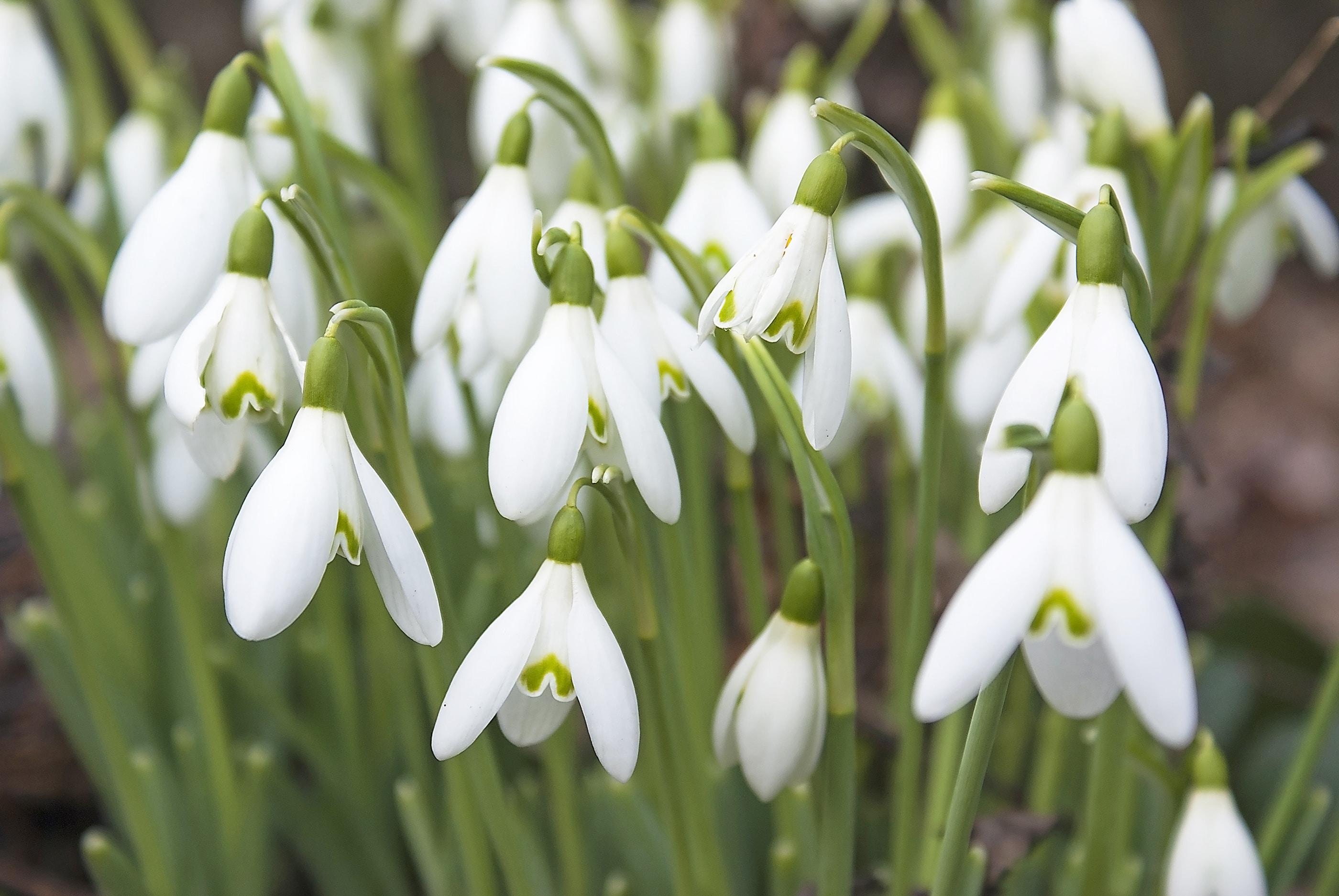 Snowdrops in a devon hedge row