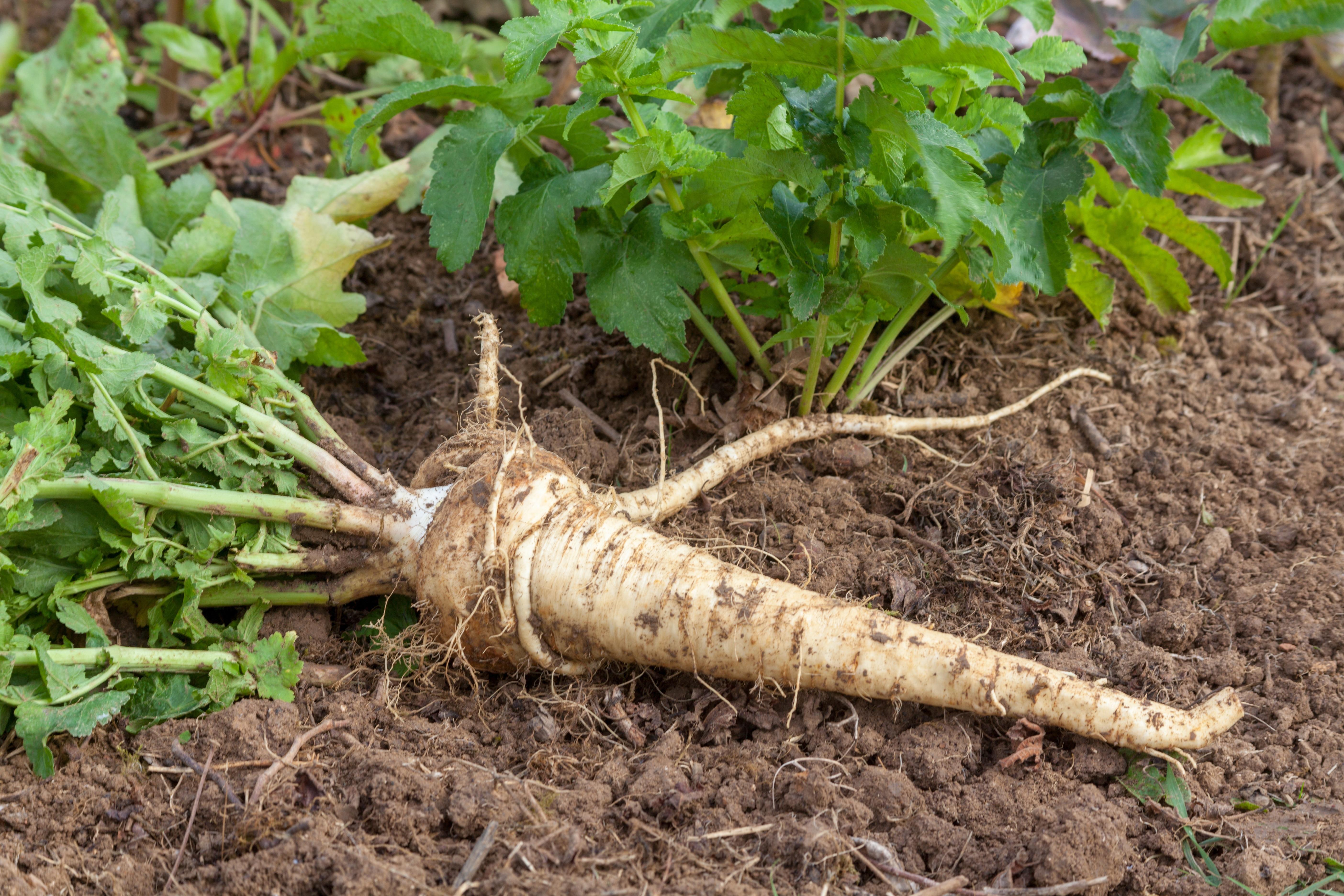 Potager - Légume ancien : le panais