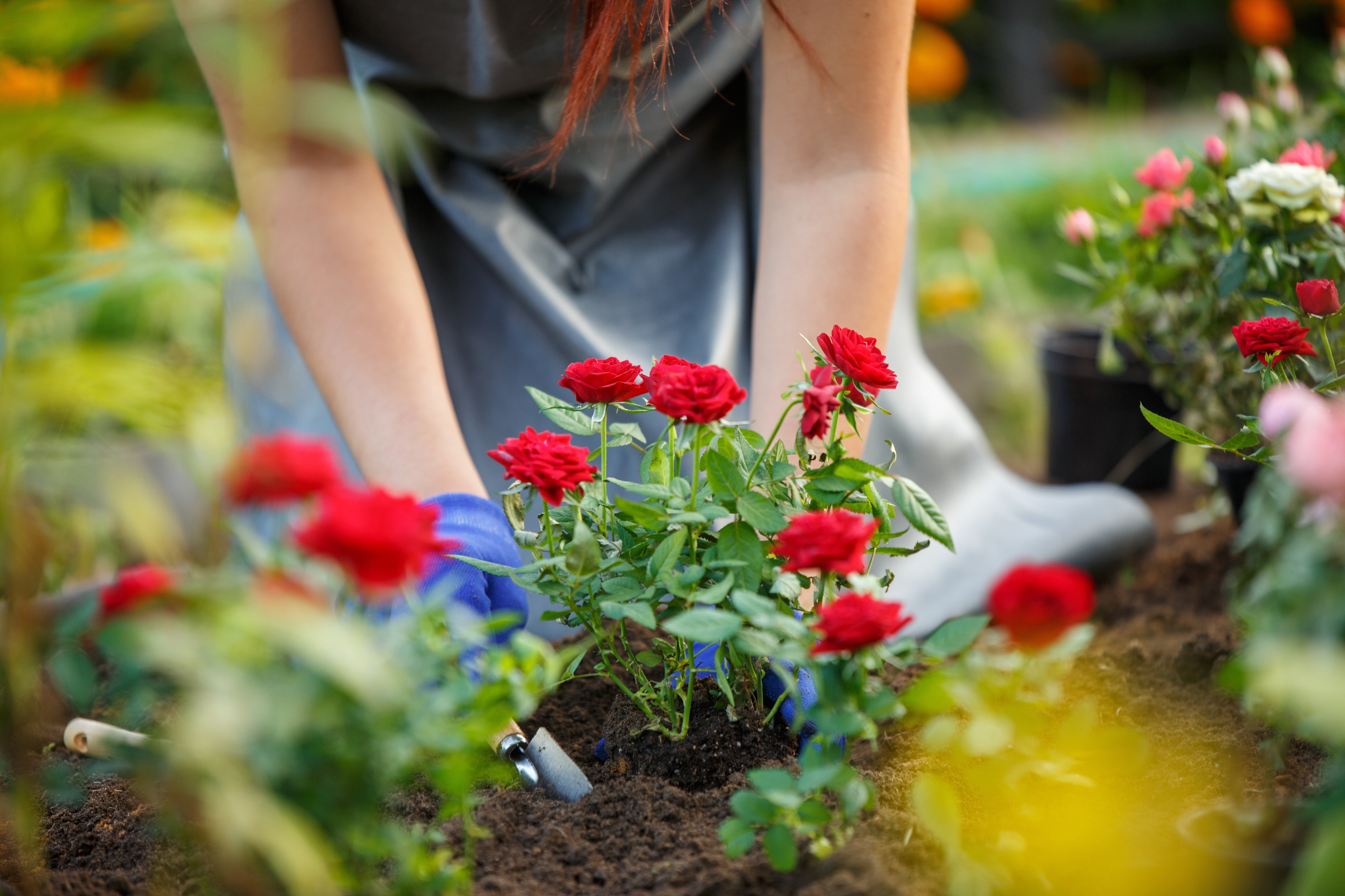 Image of agronomist planting red roses in garden on summer day