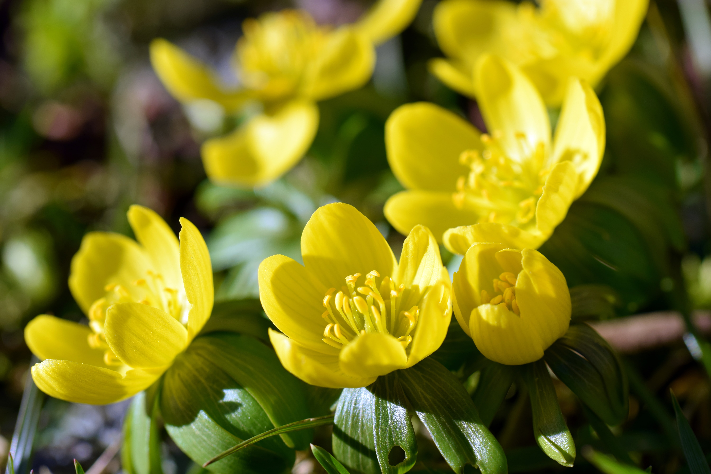 Blossoms of winter aconite (Winterlinge)