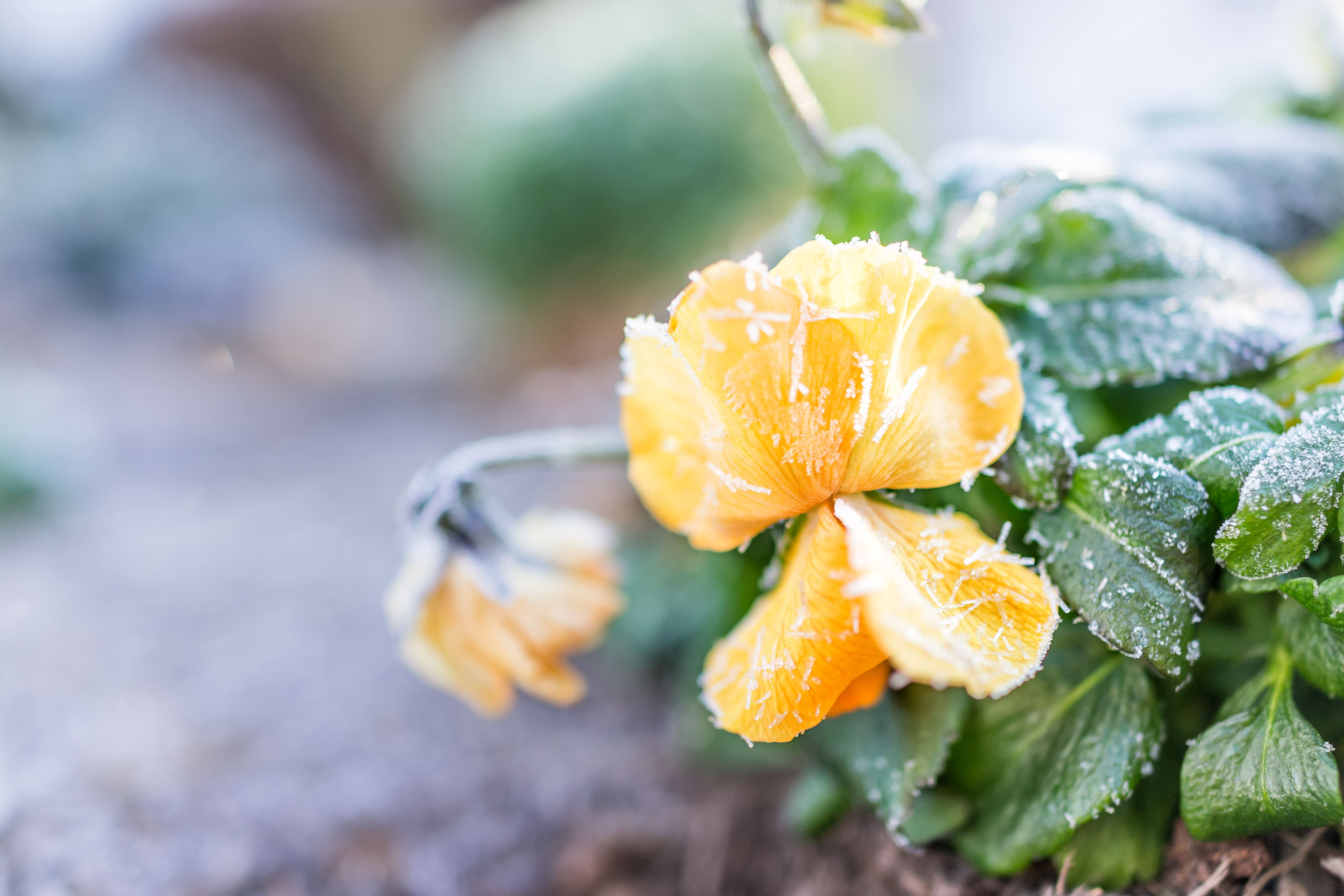 Macro closeup of yellow and orange pansy flower with frost ice crystals in winter morning in outdoor outside garden