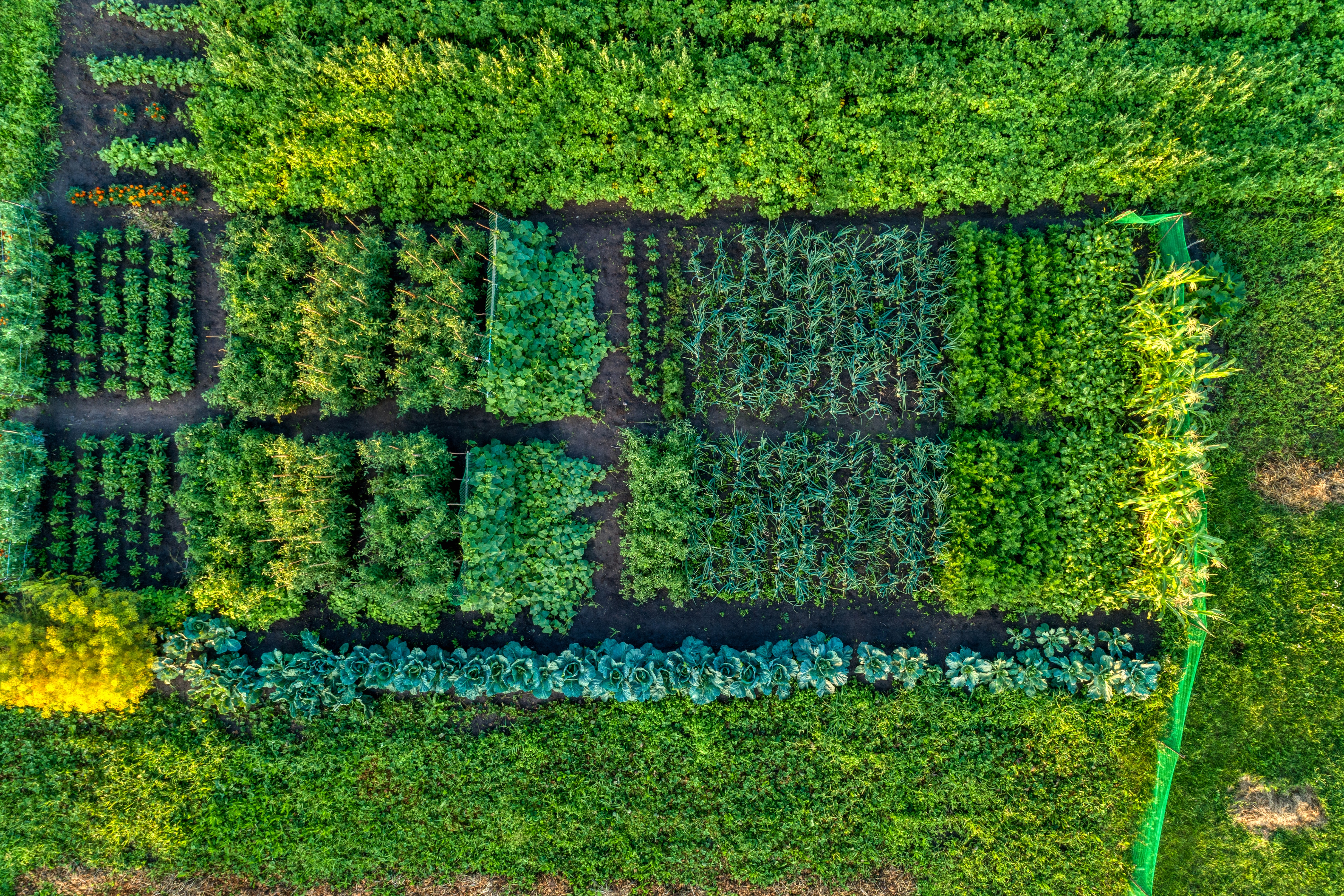 Small farm field, growing vegetables. Aerial view