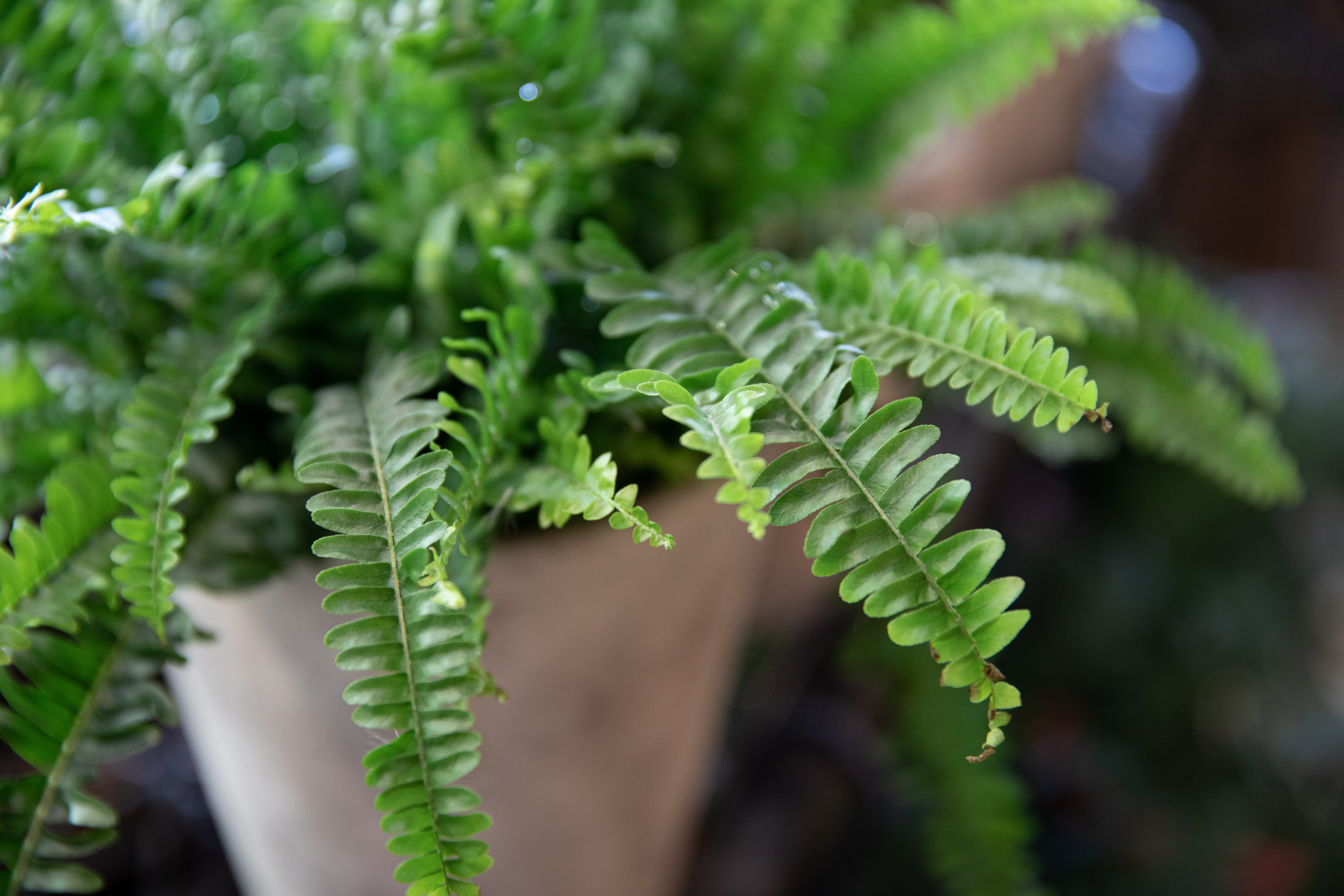 Nephrolepis or fern in a pot. Selective focus. Horizontal. Close-up.