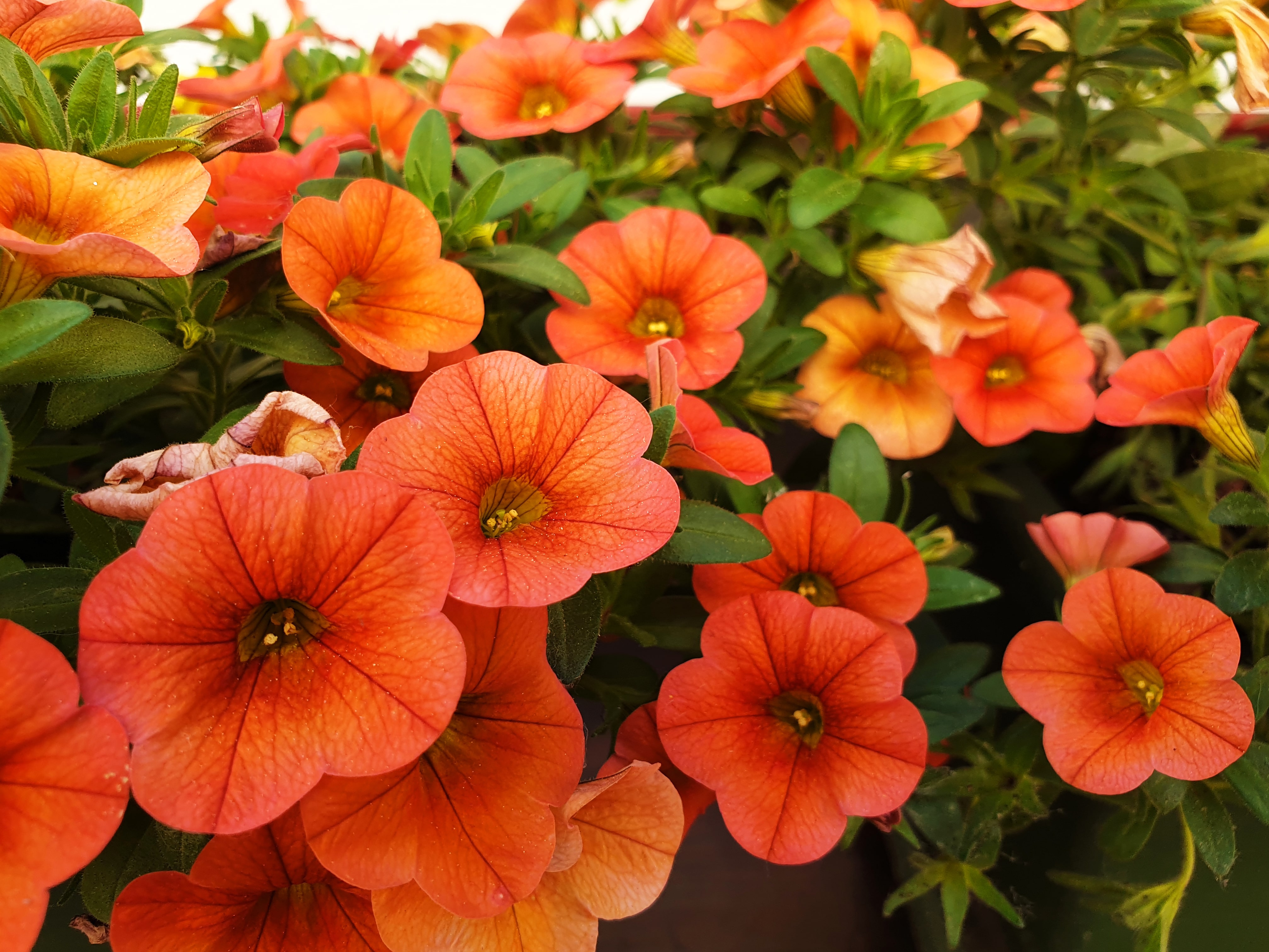 Close up of orange petunia or calibrachoa flowers.