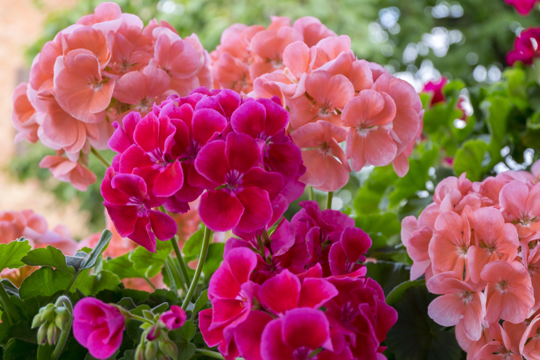 Geranienblüte, Pelargonie