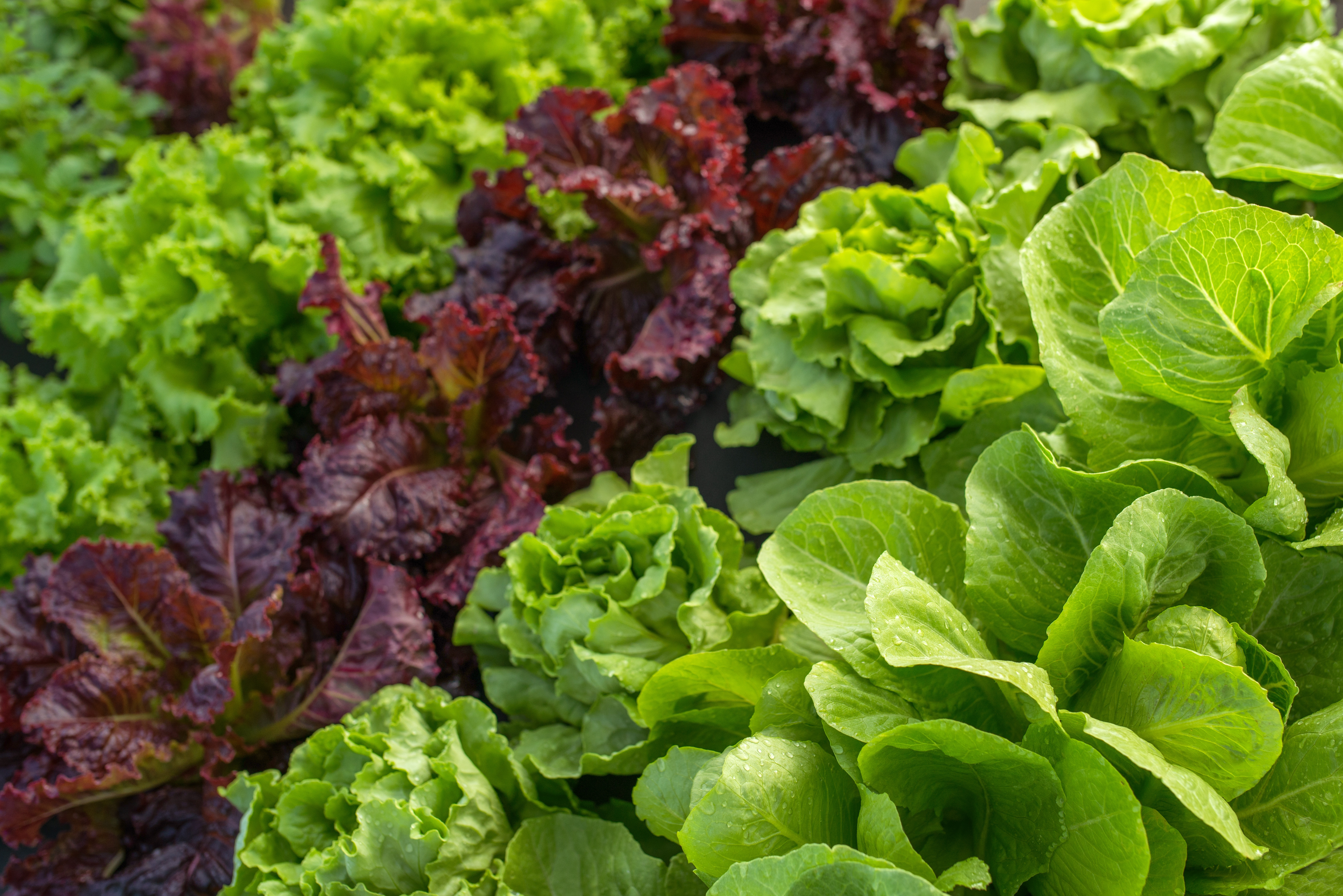 farm leaf lettuce in the field of vegetable beds