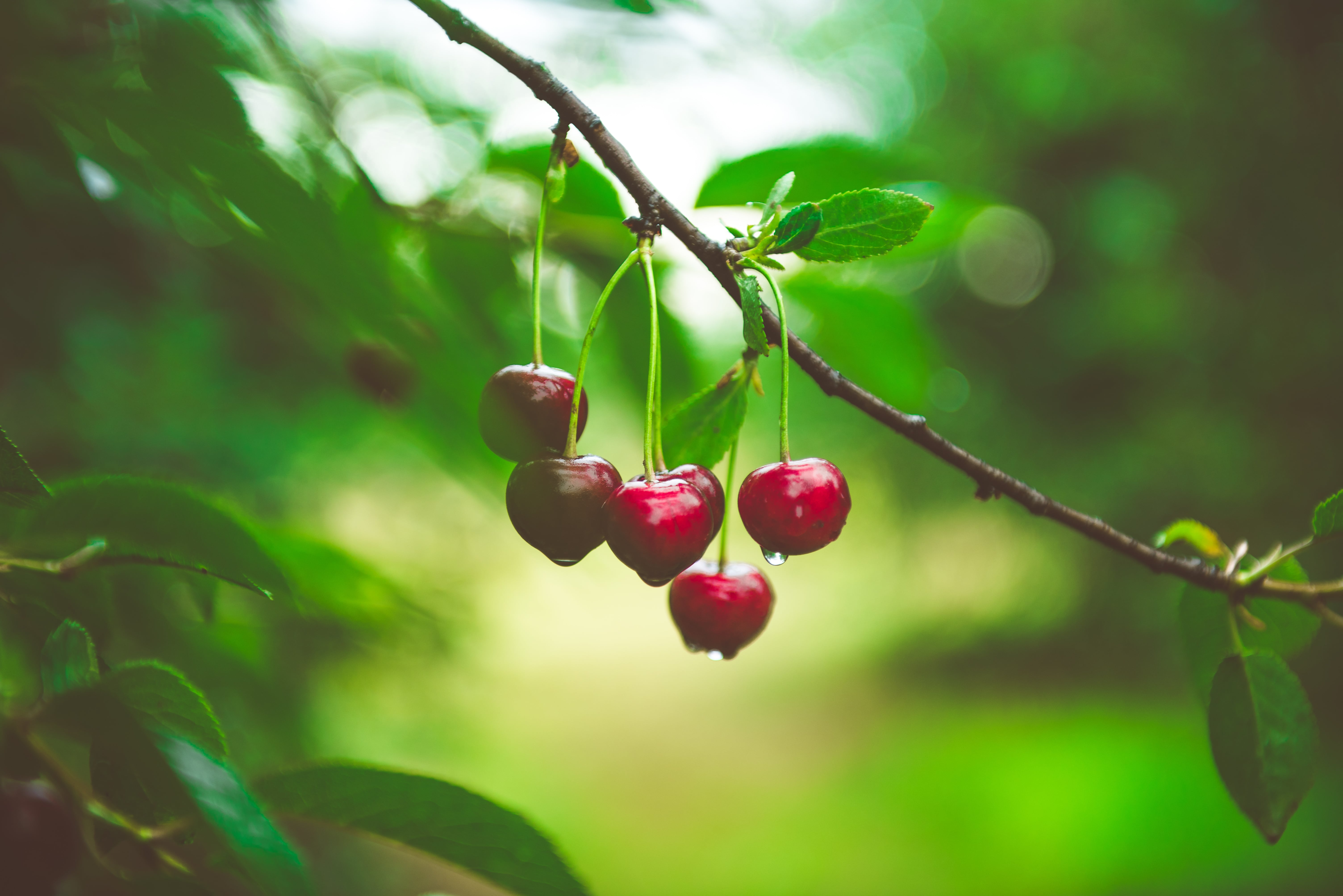 Ripe cherries growing on a cherry tree branch. Water droplets on fruits, cherry orchard after the rain. Agricultural landscape