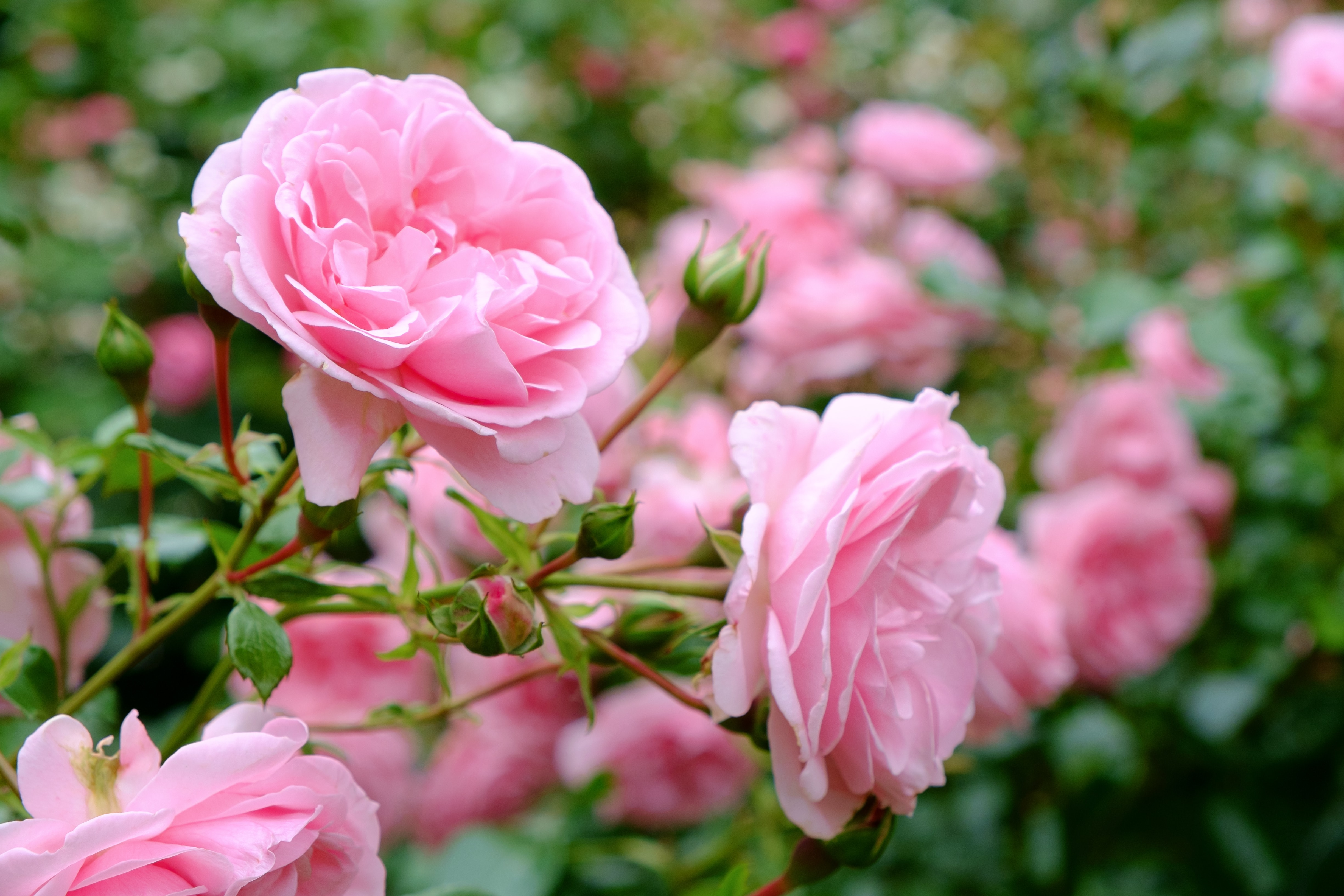 Blooming Pink roses and buds on a bush in the garde