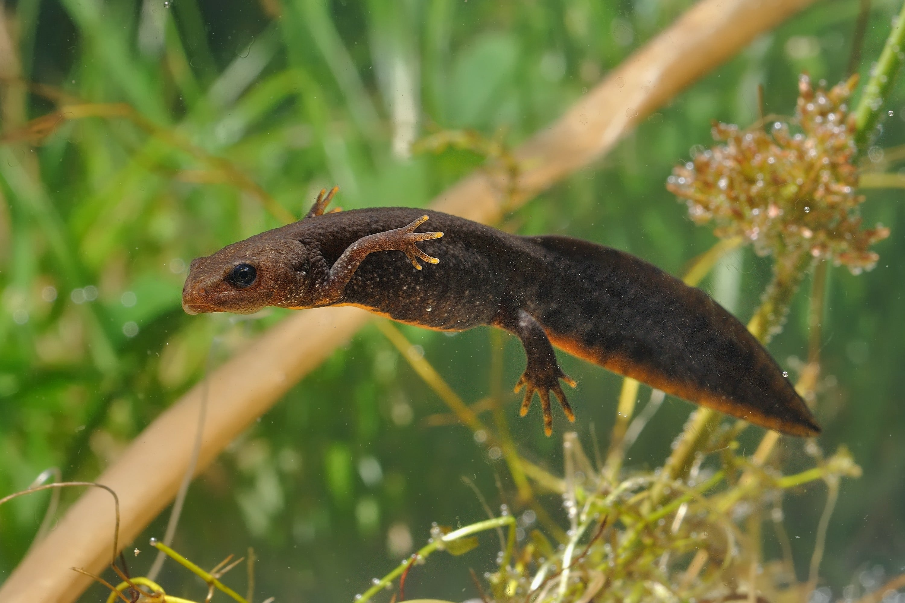 Great Crested Newt (Triturus cristatus) swimming in the water. Green background with water plants.