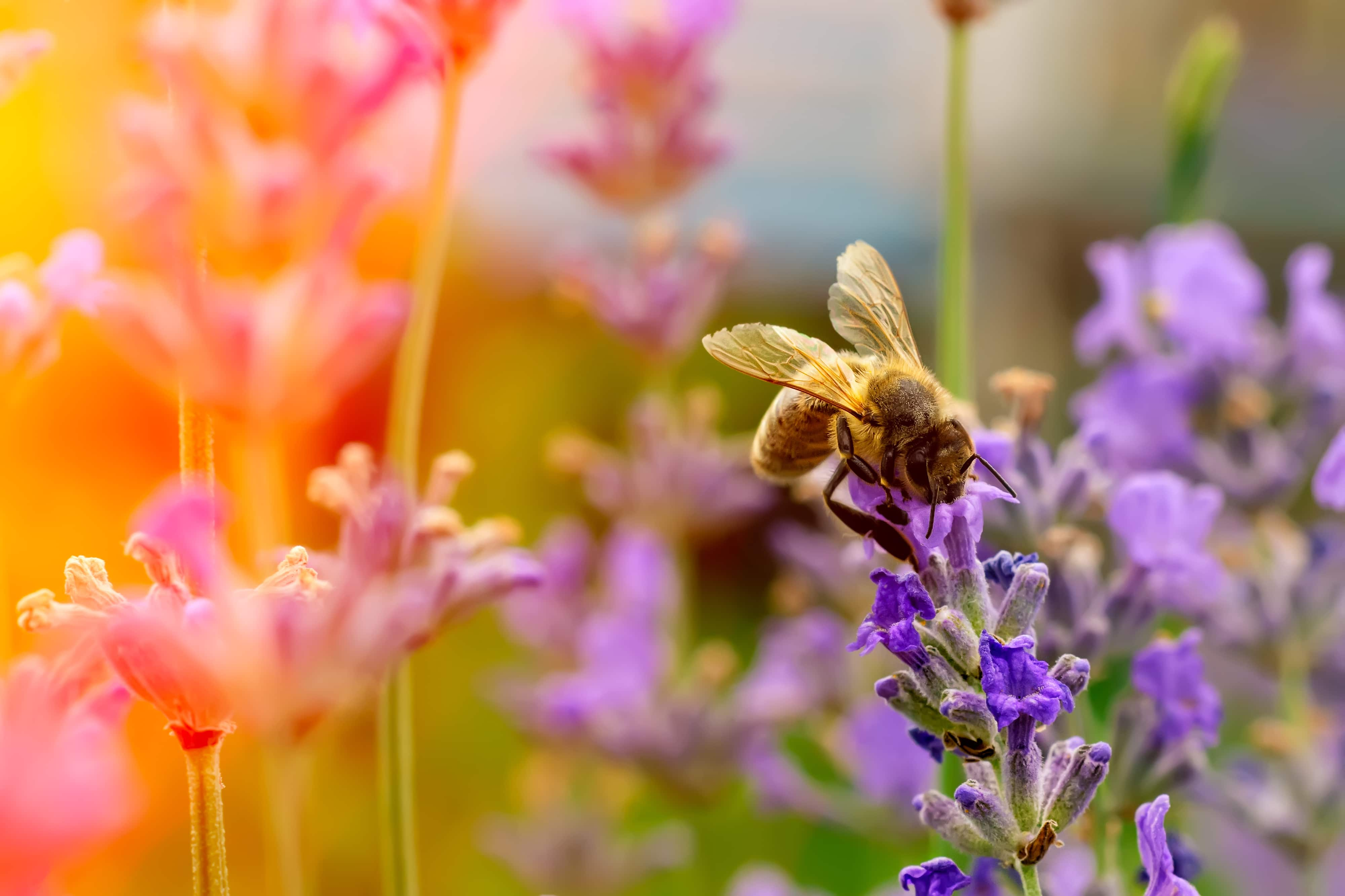 The bee pollinates the lavender flowers. Plant decay with insects