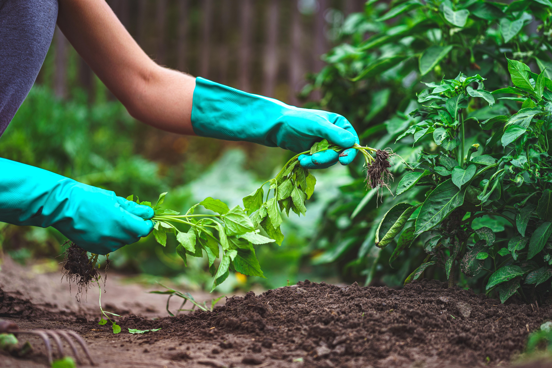 Spring weeding vegetables in the garden. Gardening and vegetable growing. Garden care